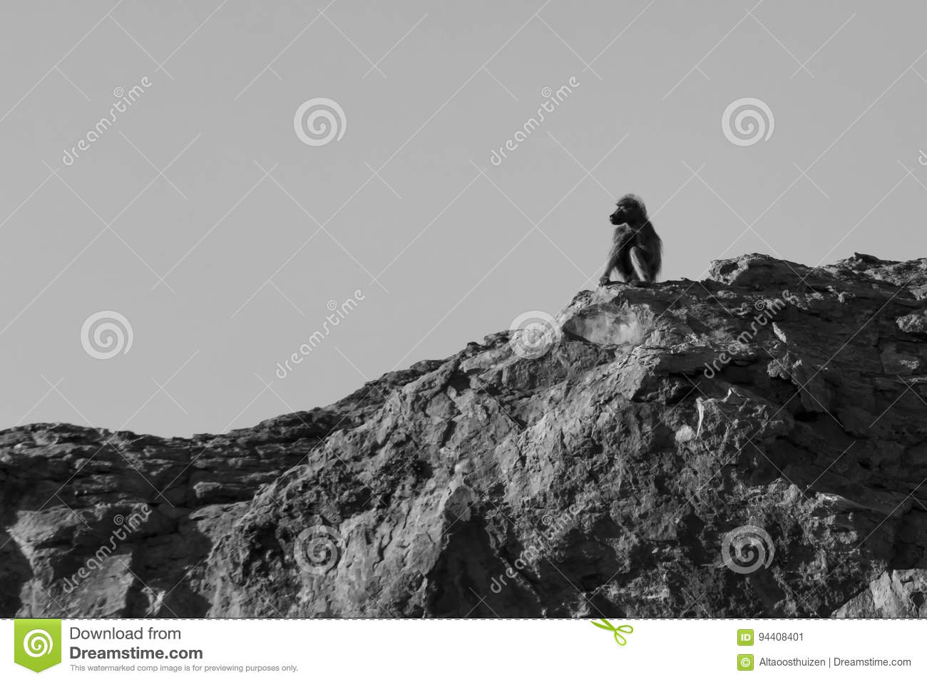 A big male baboon sit on high rock to look-out for danger