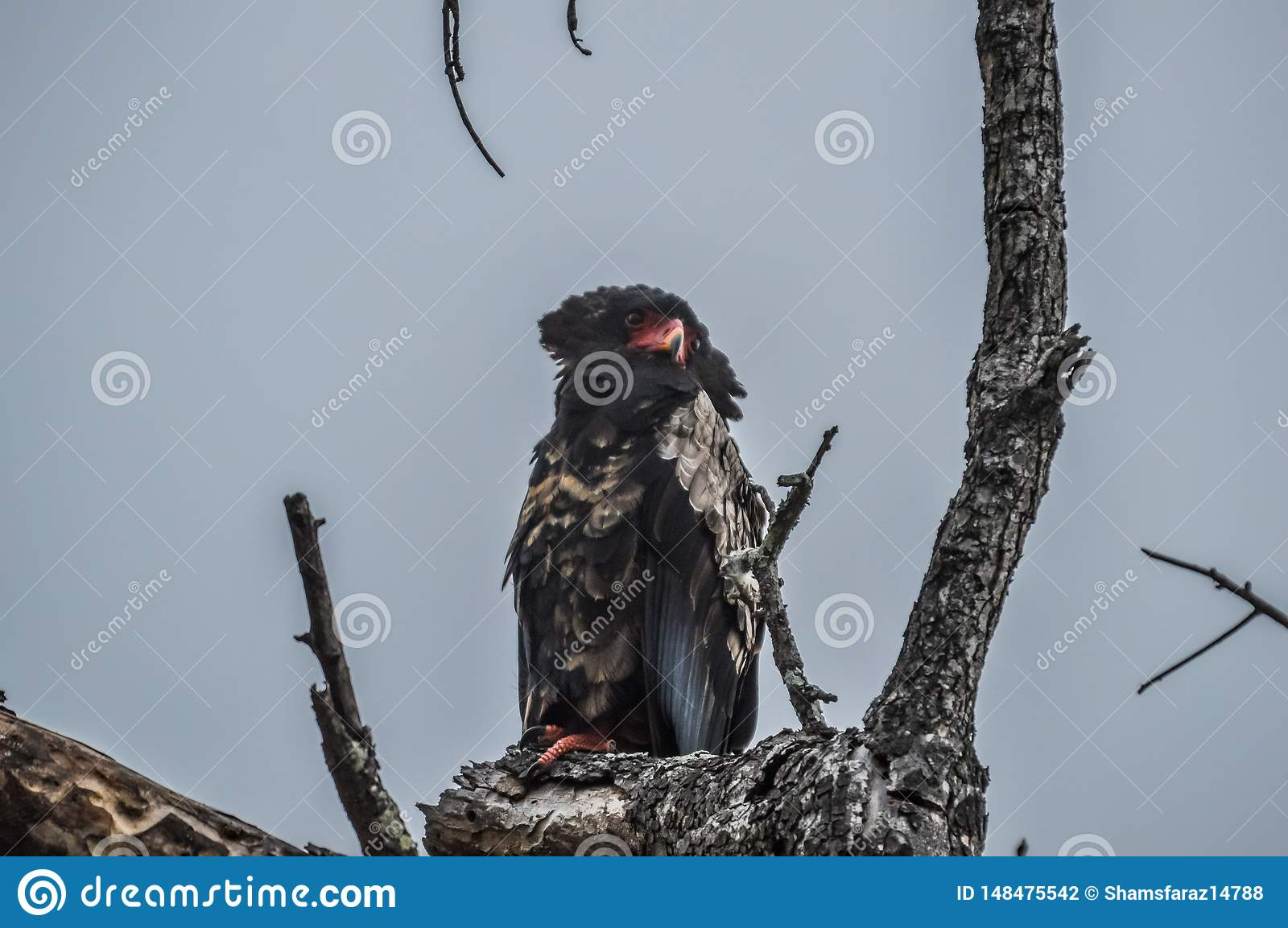 A big male Bateleur eagle perched on a tree branch during safari in South Africa