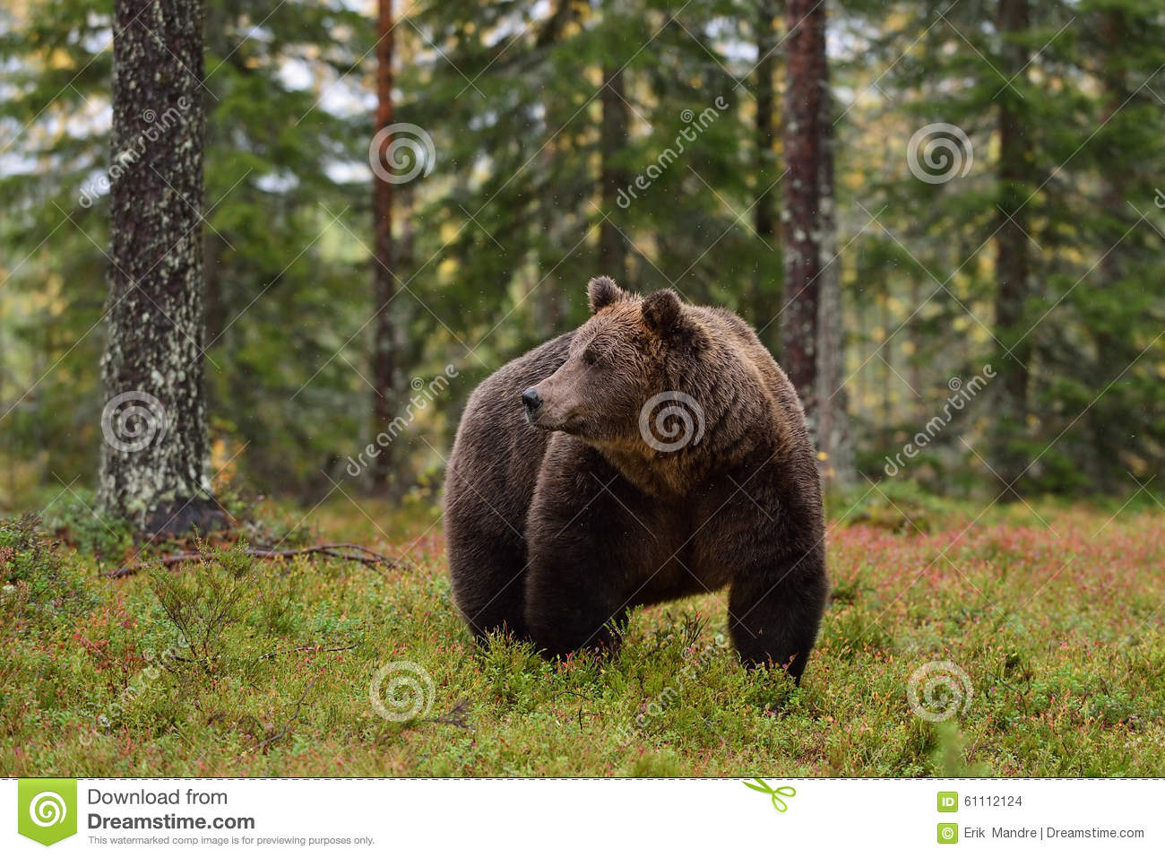 Big male brown bear in forest