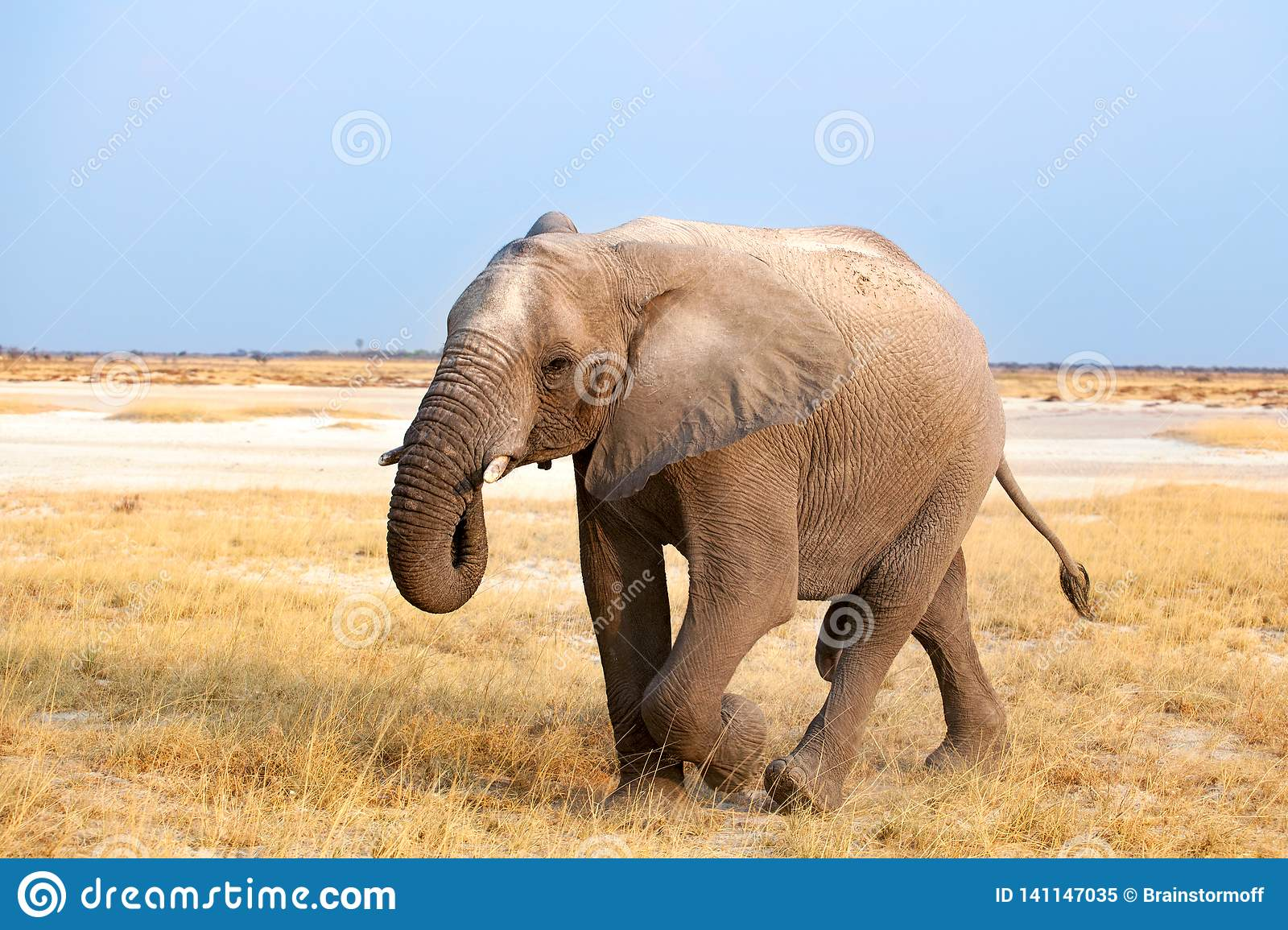 Big male elephant with long trunk walking on yellow grass close up in Etosha National Park, Namibia, Southern Africa