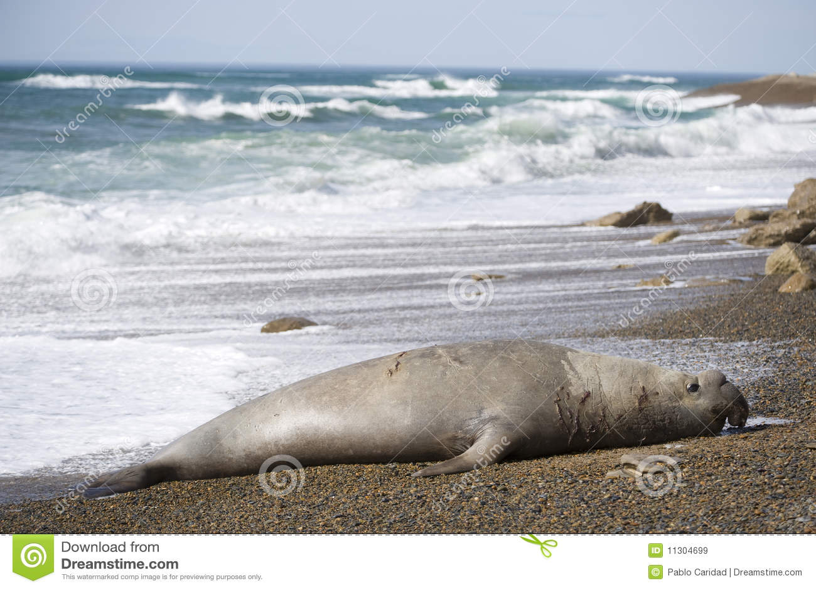 Big male elephant seal, Patagonia, Argnentina.