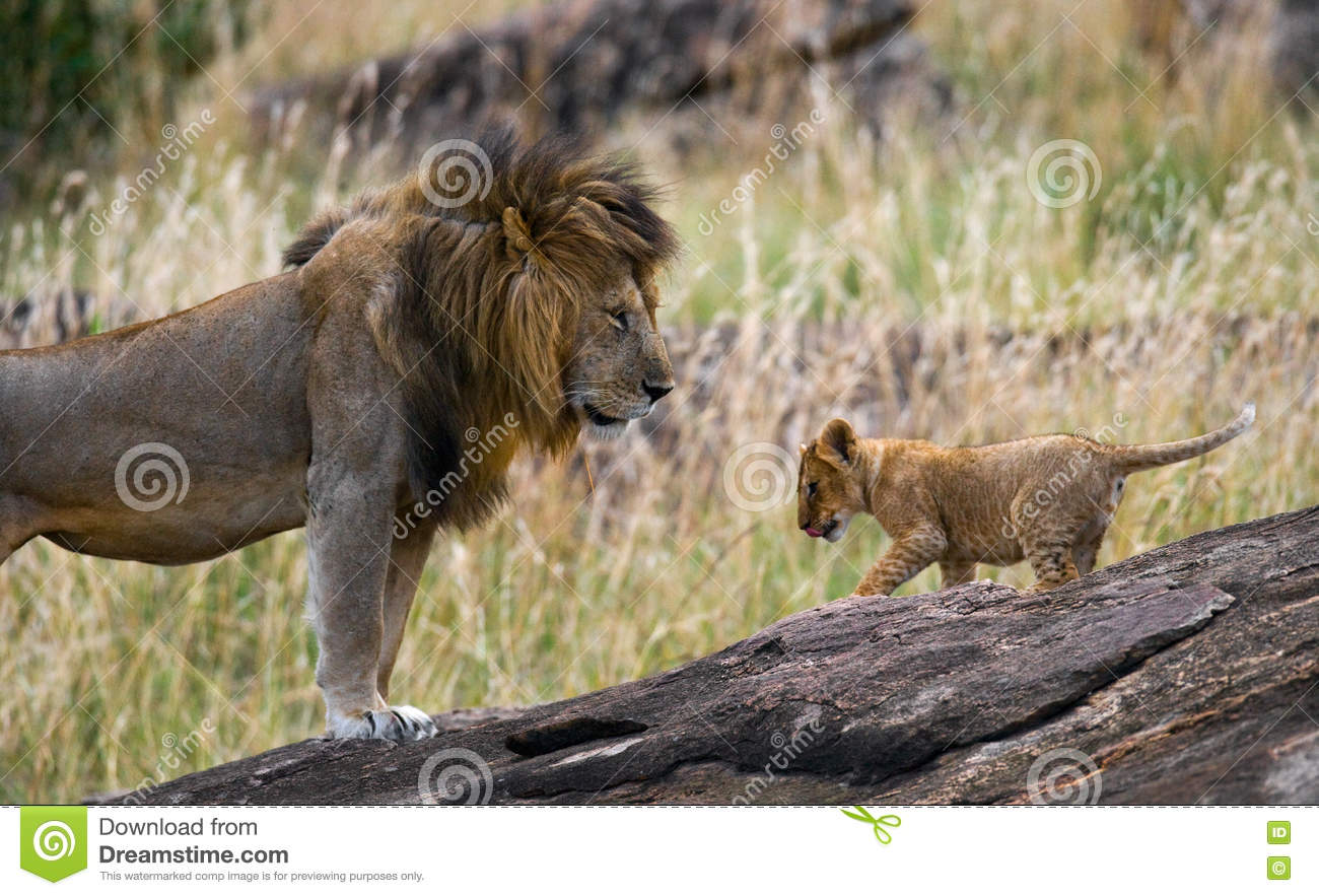 Big male lion with cub. National Park. Kenya. Tanzania. Masai Mara. Serengeti.