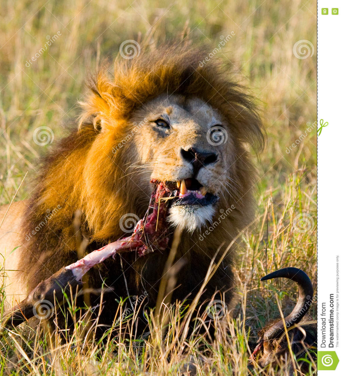 Big male lion with gorgeous mane eating prey. National Park. Kenya. Tanzania. Maasai Mara. Serengeti.