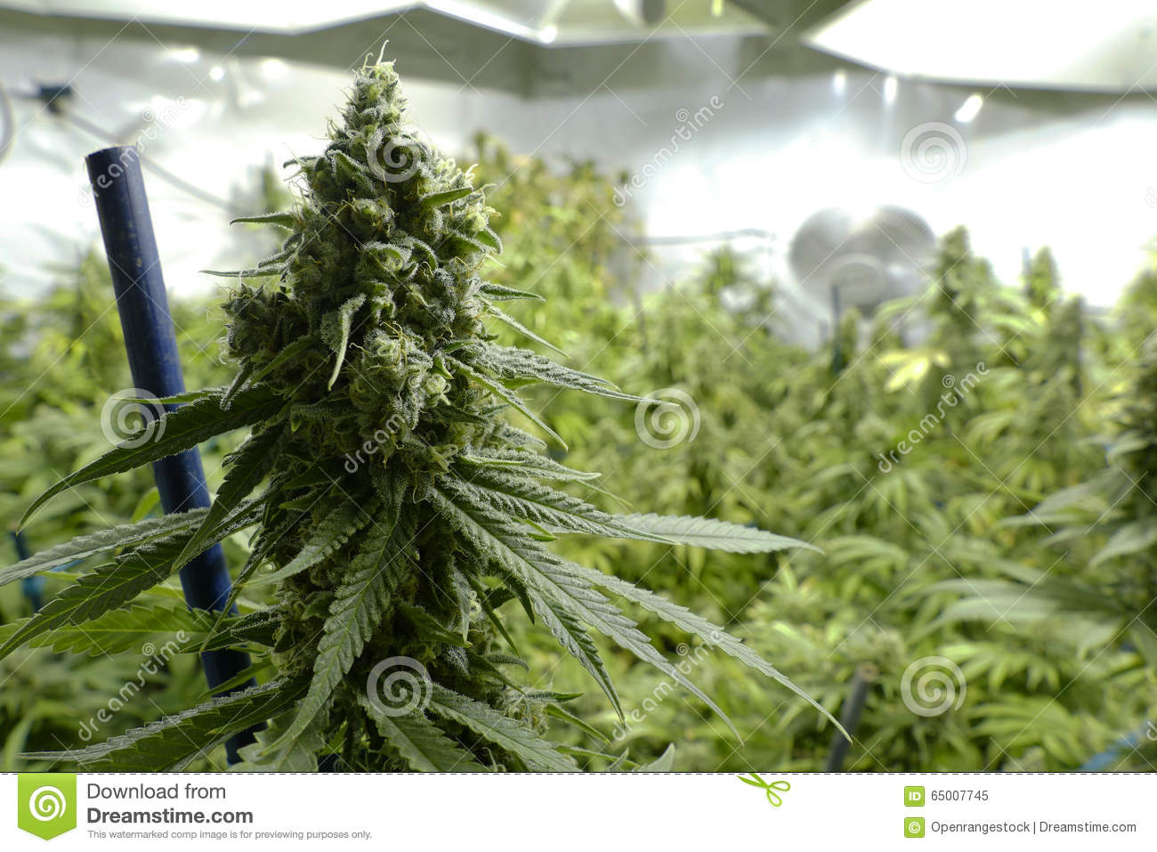 big marijuana bud on indoor plant under lights at cannabis