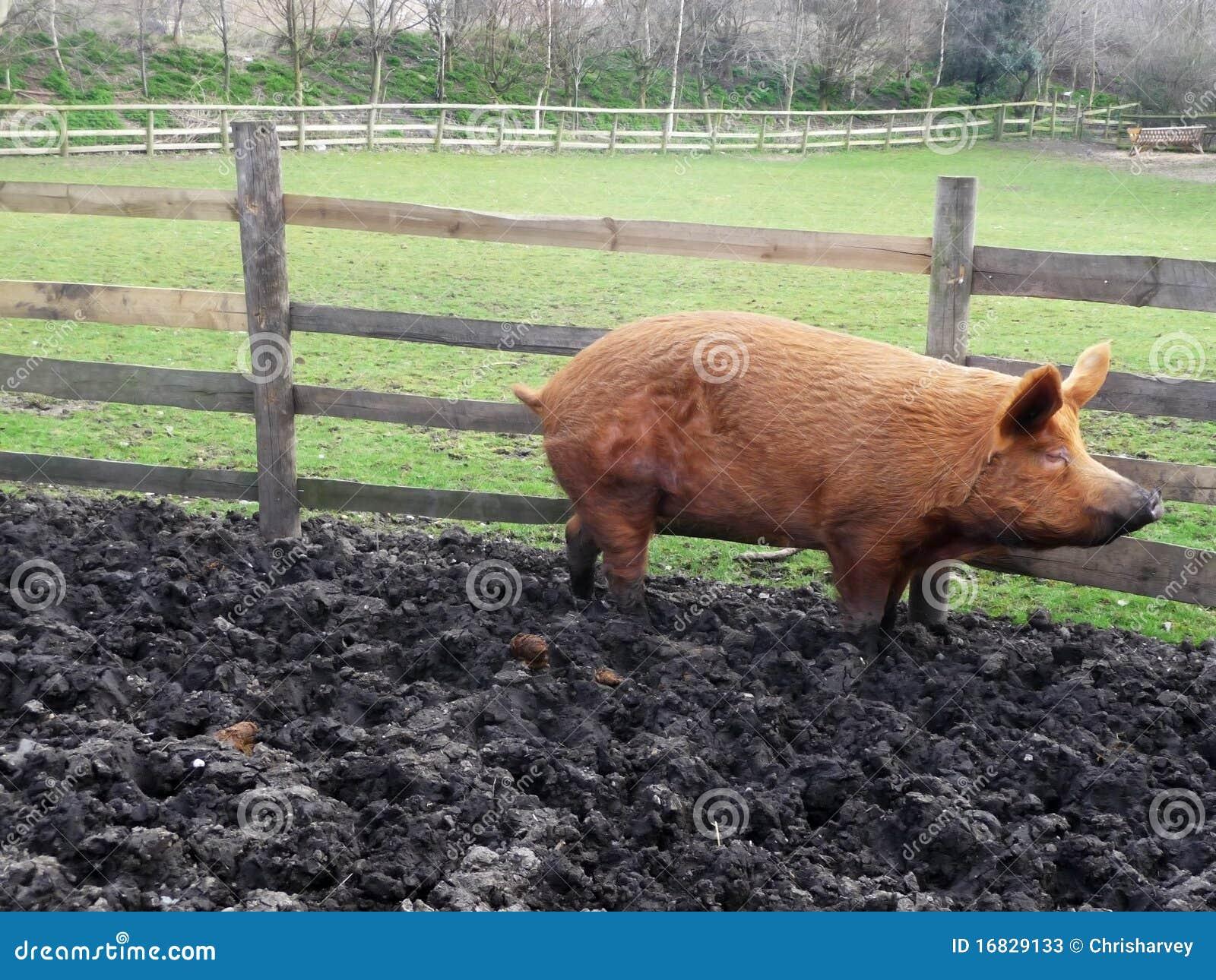 Big Muddy Pig Stock Photos Image 16829133