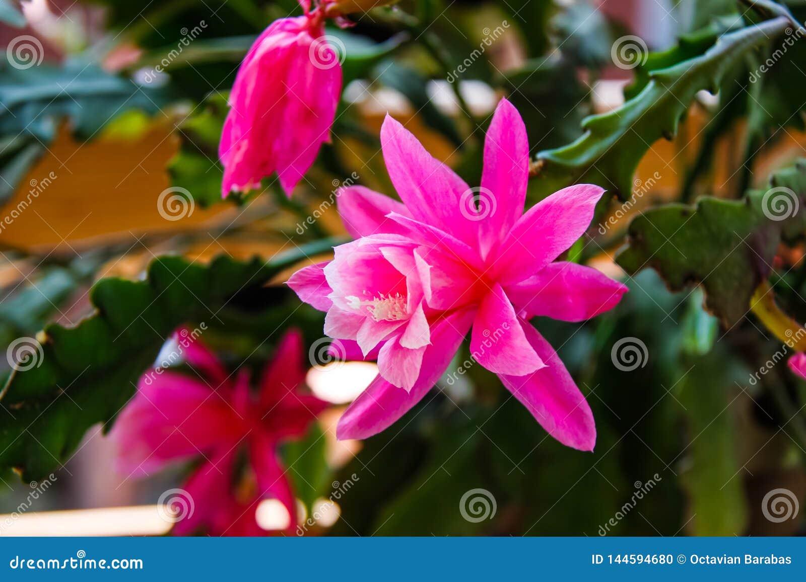 Big open Geranium flower in beautiful pink