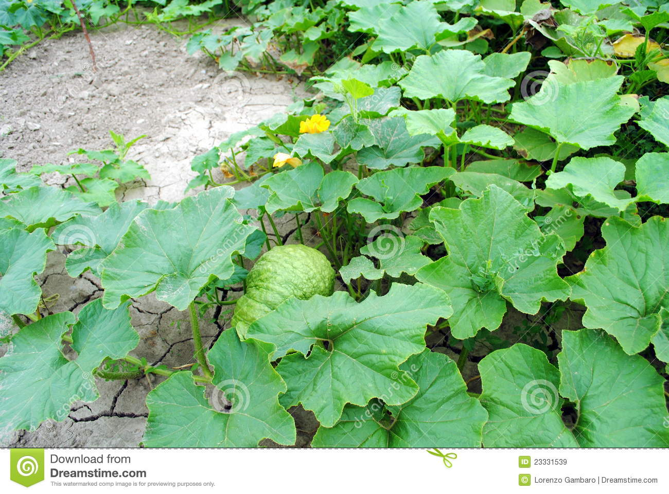 Big organic pumpkin with flowers royalty free stock images for Dream plants for the natural garden
