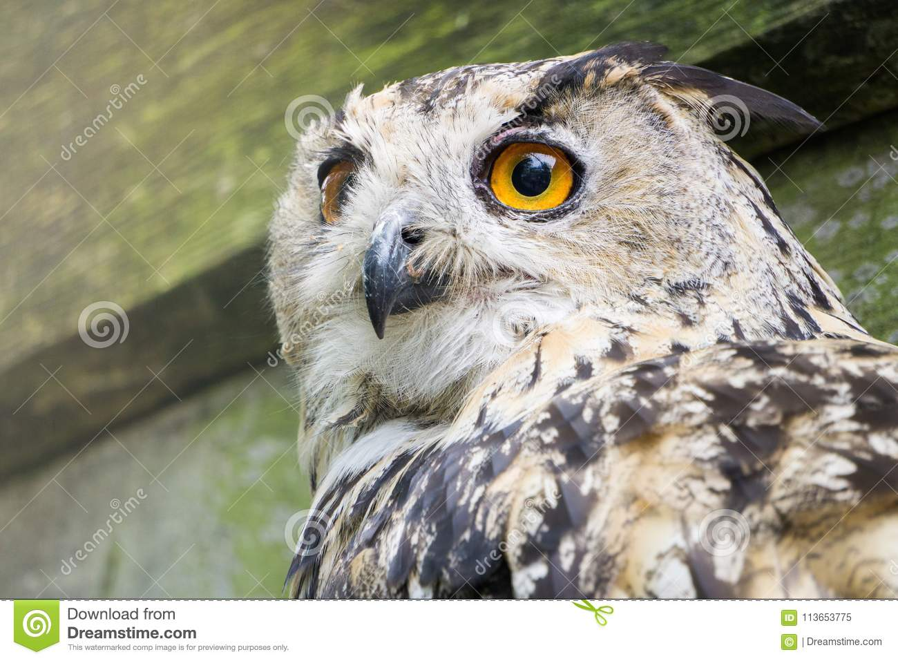 A big owl with ginger eyes sitting on a ledge in its wooden house in a zoo