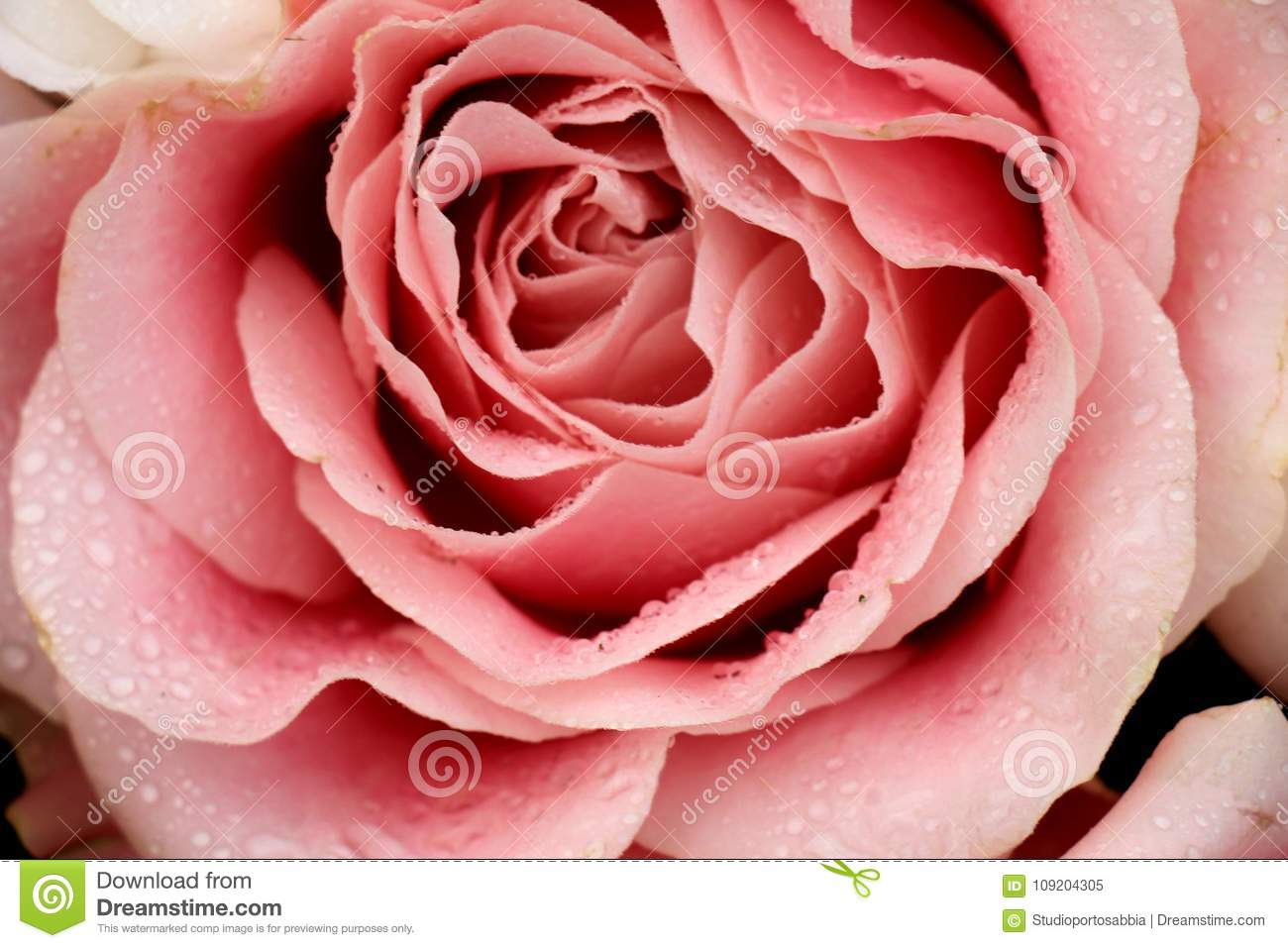 Big Pale Pink Rose Stock Image Image Of Pale Flower 109204305