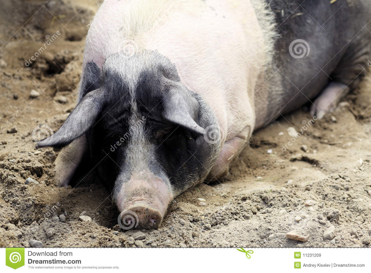 Big Pig Royalty Free Stock Images Image 11231209