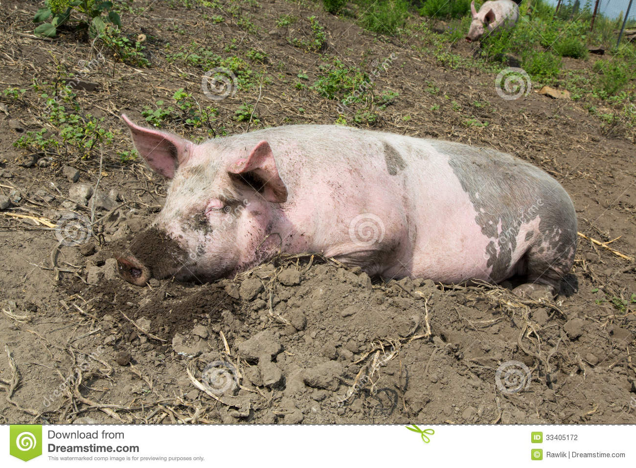 Big Pig On The Farm Stock Photography - Image: 33405172