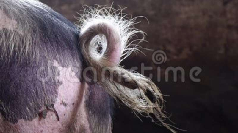 Big pig in the pigsty on the farm. Twisted Pigtail. Ears, boar.