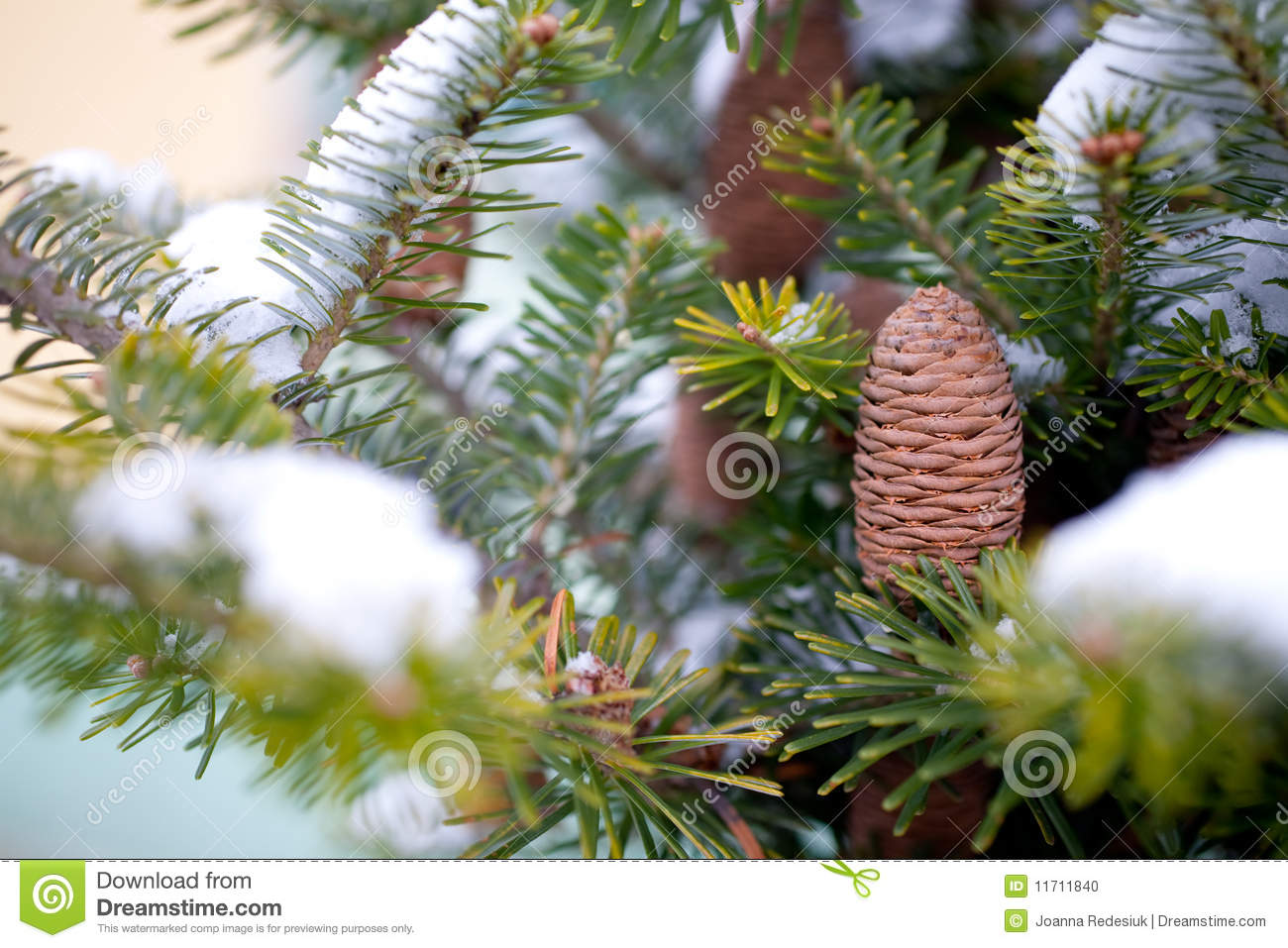 Big pine cone stock photo image 11711840 for Large pine cones