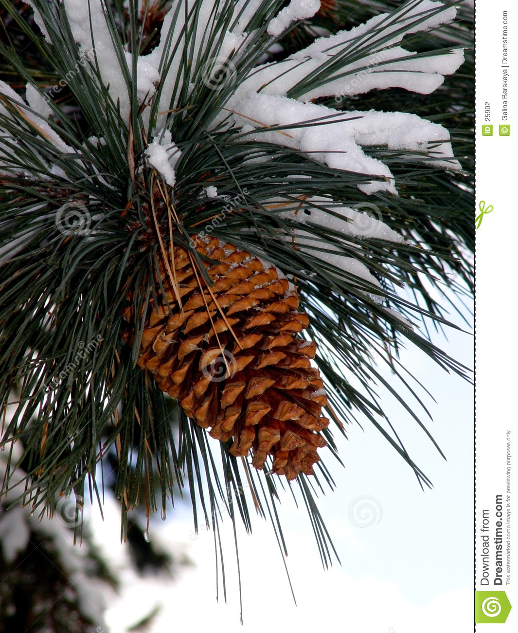 Big pine cone stock photo image of coniferous snowing for Large christmas pine cones