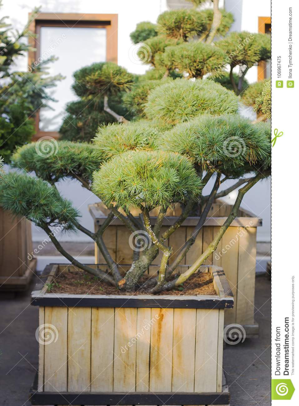 Big Pine Topiary In Form Of Clouds Evergreen Tree In Wooden Pot Stock Image Image Of Farming Farm 106967475