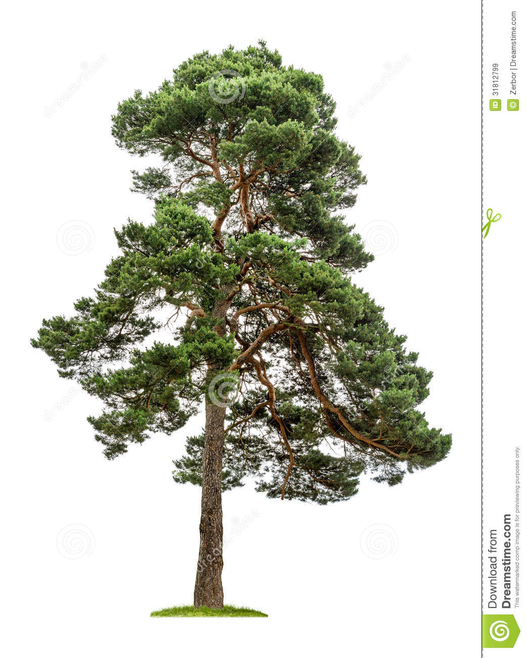 Big Pine Tree On A White Background Royalty Free Stock Images - Image ...