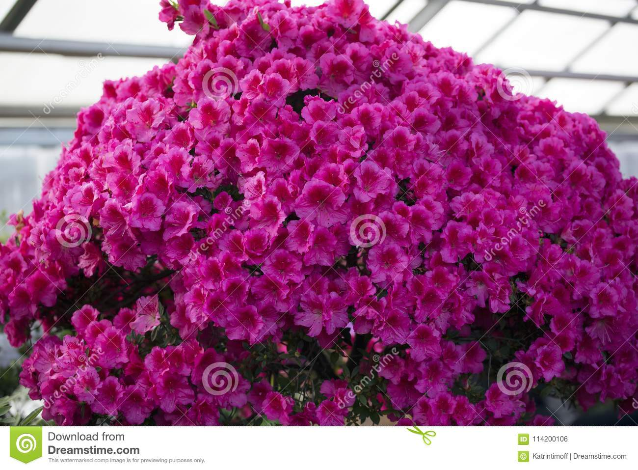 Azalea Rhododendron Flowers In The Garden Stock Photo Image Of