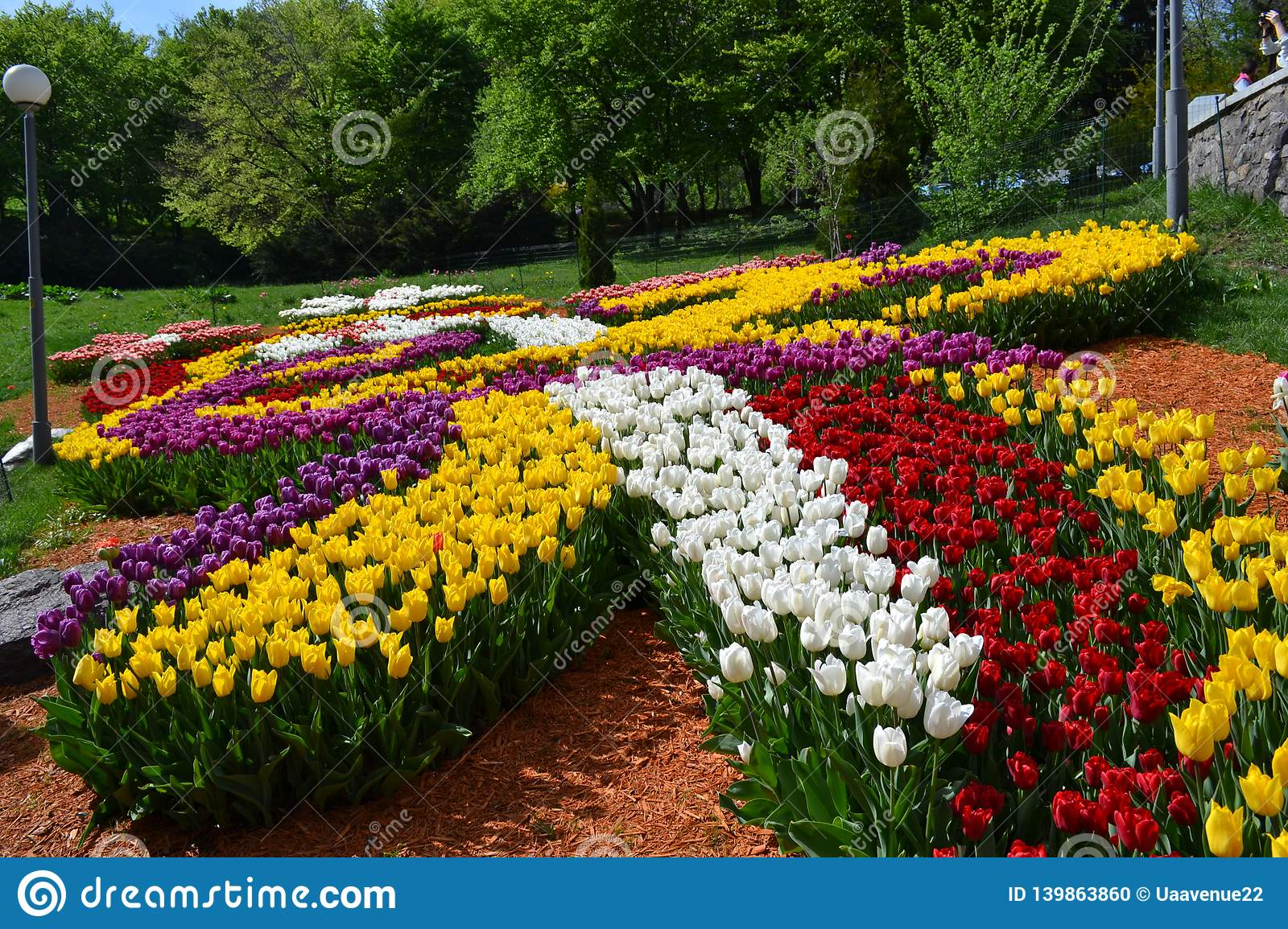 Big plantation of red tulips on sunny day in spring. Manufacture of growing flowers. Flower bed in the form of a petals