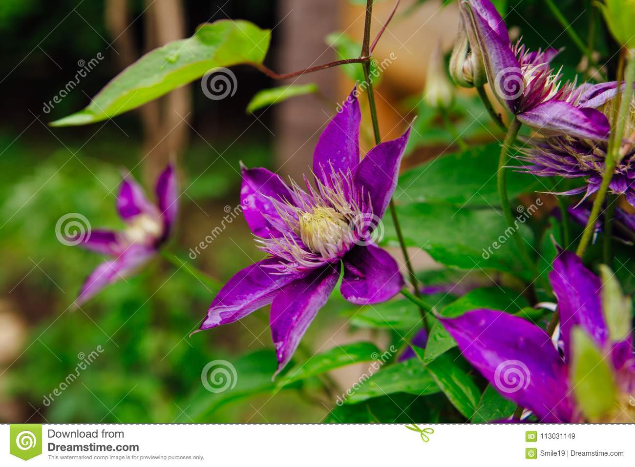 Big purple flowers named clematis or president flower after rain download big purple flowers named clematis or president flower after rain stock image image of mightylinksfo