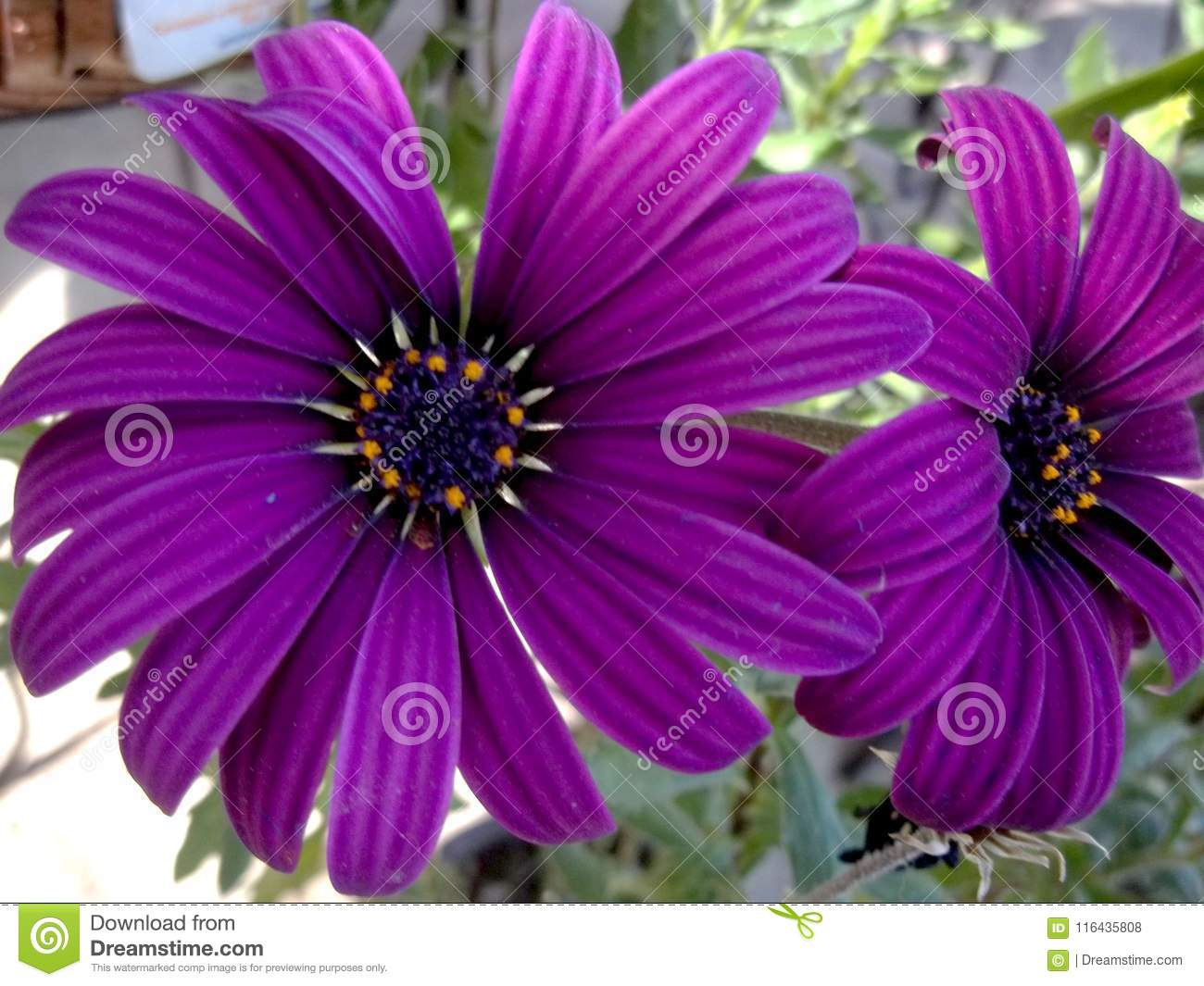 Big Purple Flowers Soft Spring Mystic Stock Photo Image Of Calid