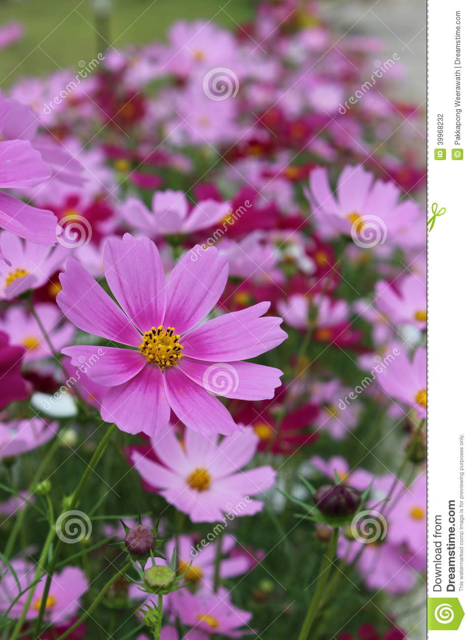 Big Purple Flowers With Yellow Pollen Stock Photo Image Of