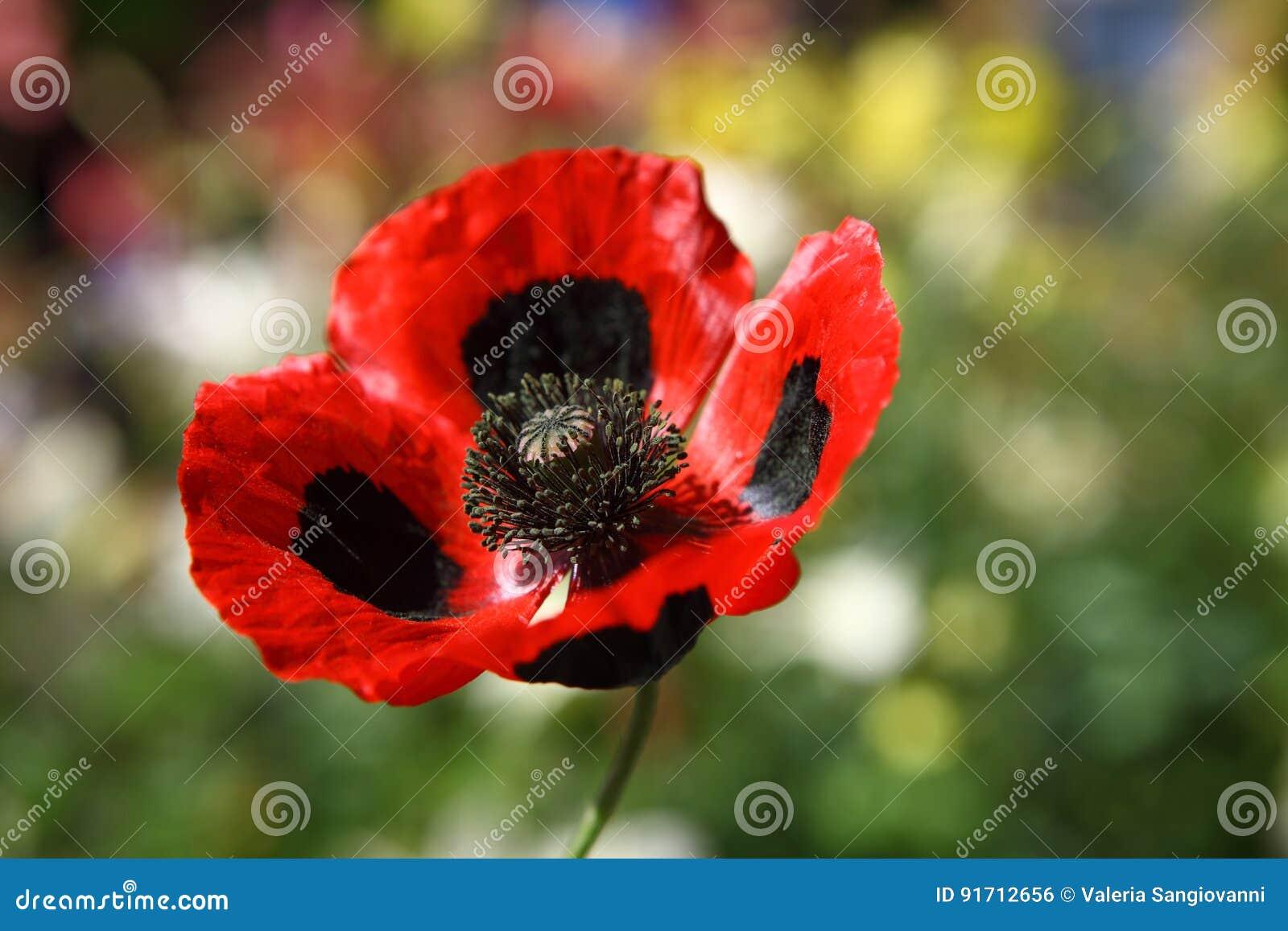 Big red and black poppy flower stock photo image of horticulture big red and black poppy flower mightylinksfo
