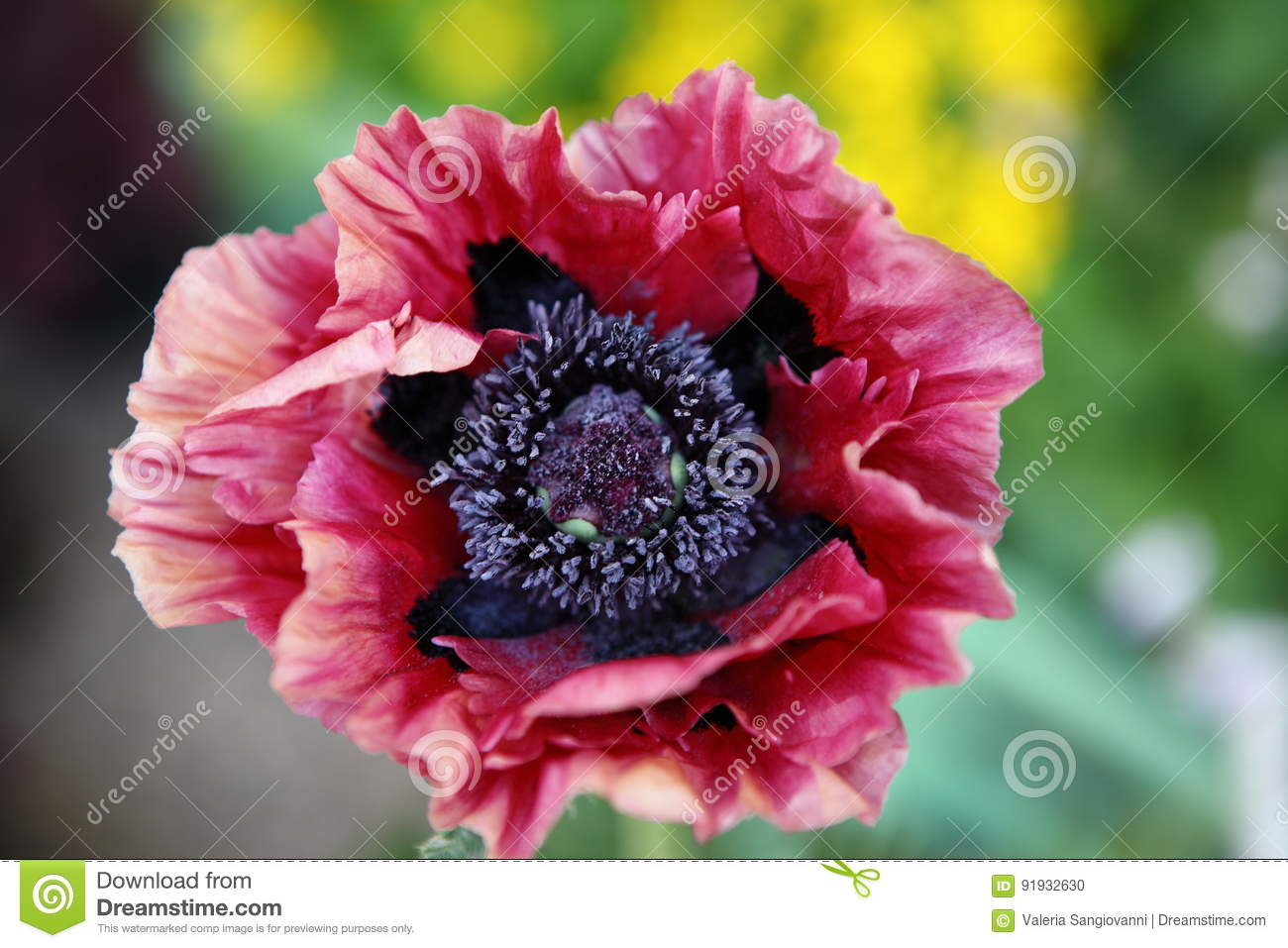 Big red and black poppy flower stock photo image of center download big red and black poppy flower stock photo image of center poppies mightylinksfo