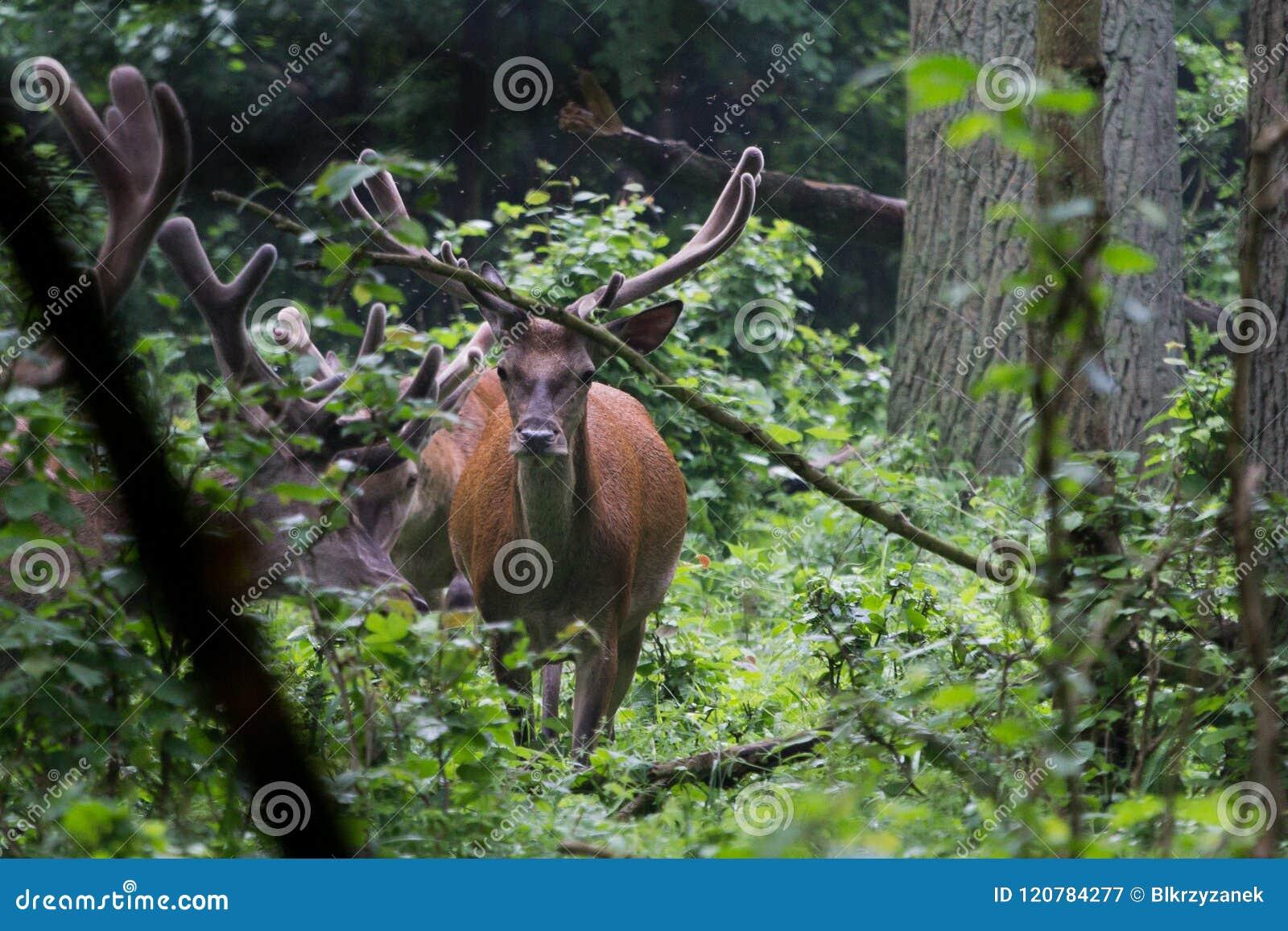 Red deer with antlers. Velvet covers a growing antler.