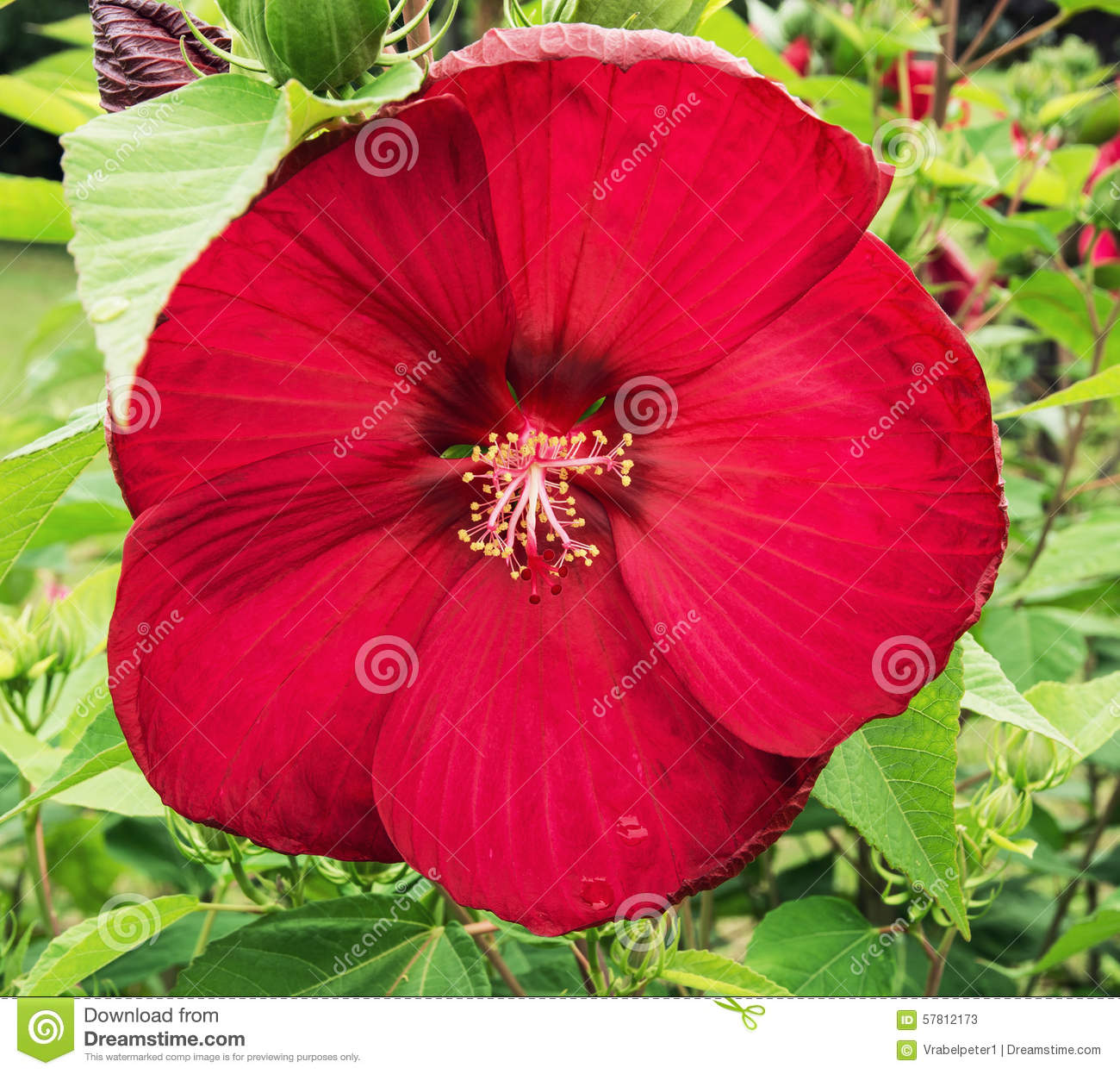 Big Red Hibiscus Flower Stock Image Image Of Flowering 57812173
