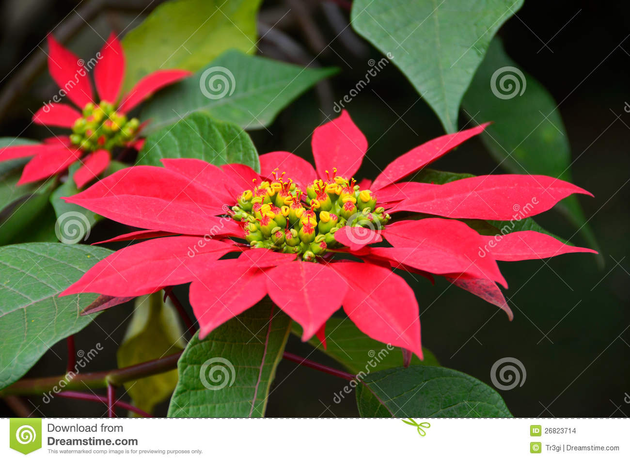 Big red poinsettia flower in a bush stock images image - Arbustos con flores ...