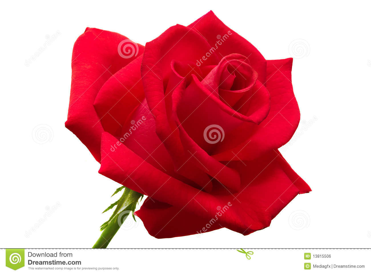 Beautiful Single Red Rose Flower Isolated Royalty Free: Big Red Rose Isolated Royalty Free Stock Image