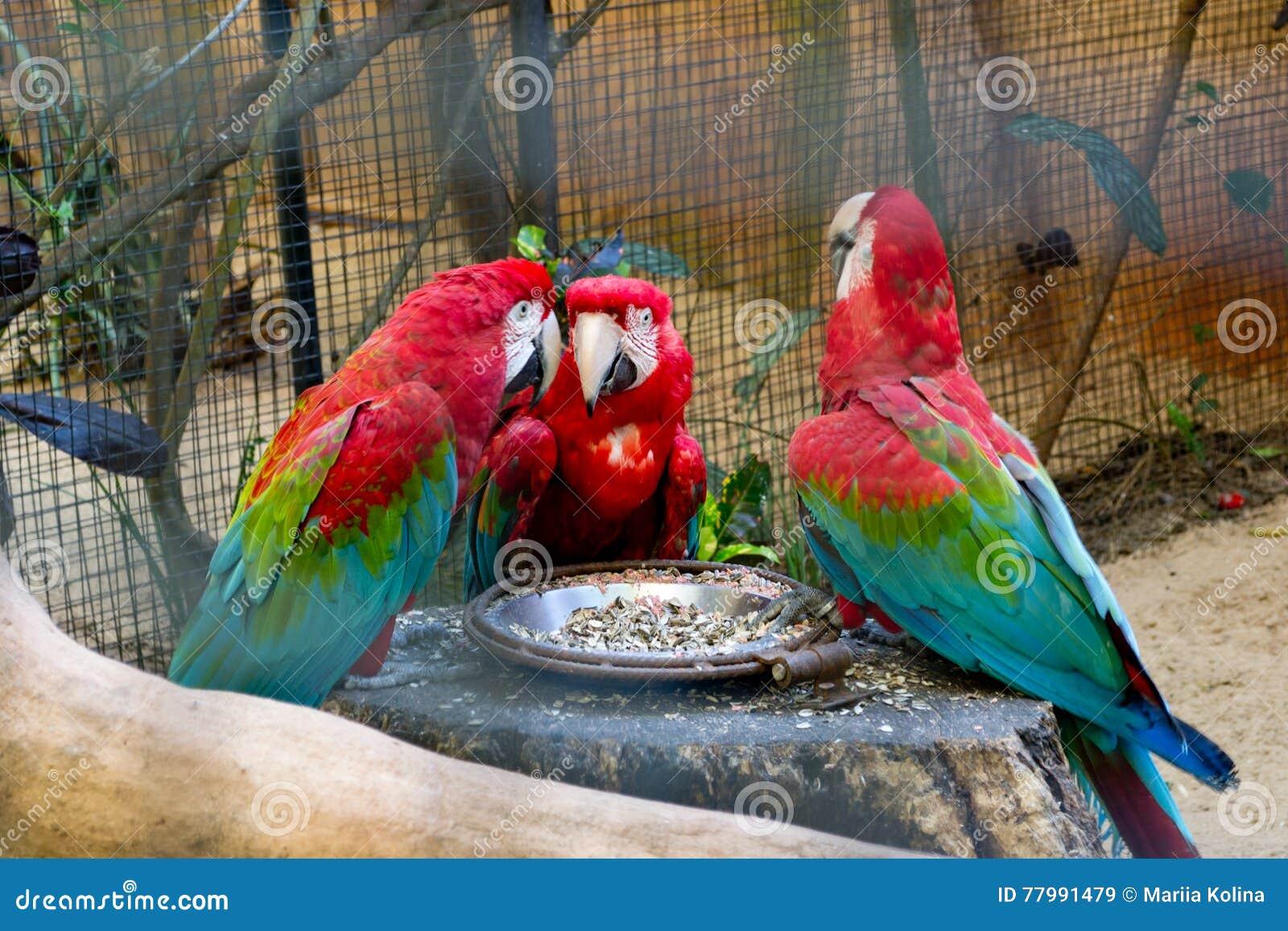 Big red speaking ara parrots in zoo