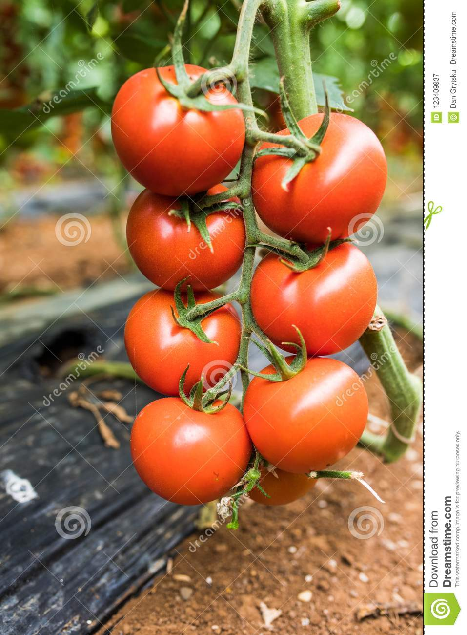 Big ripe red tomato fruits hanging on the branch in greenhouse in summertime, close-up
