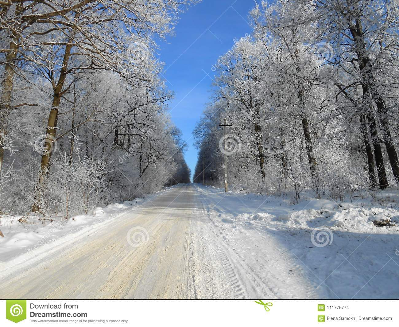 Road between the big trees in the wintertime.