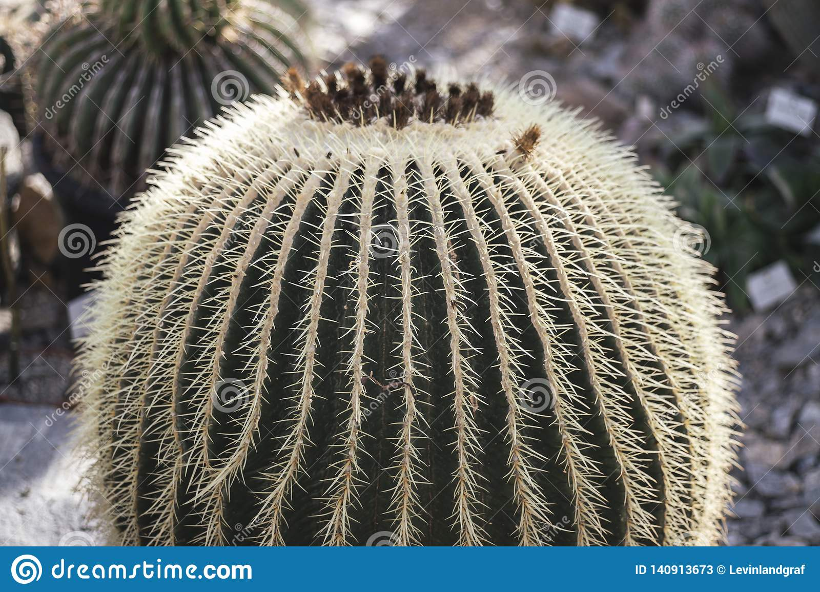 Big round Cactus with lots of thorns