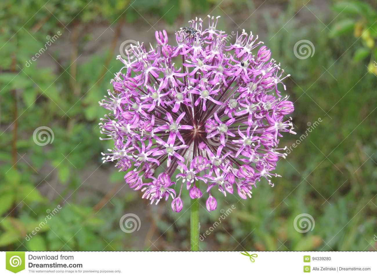 Big Round Pink Flower In The Garden Close Up Stock Photo Image Of