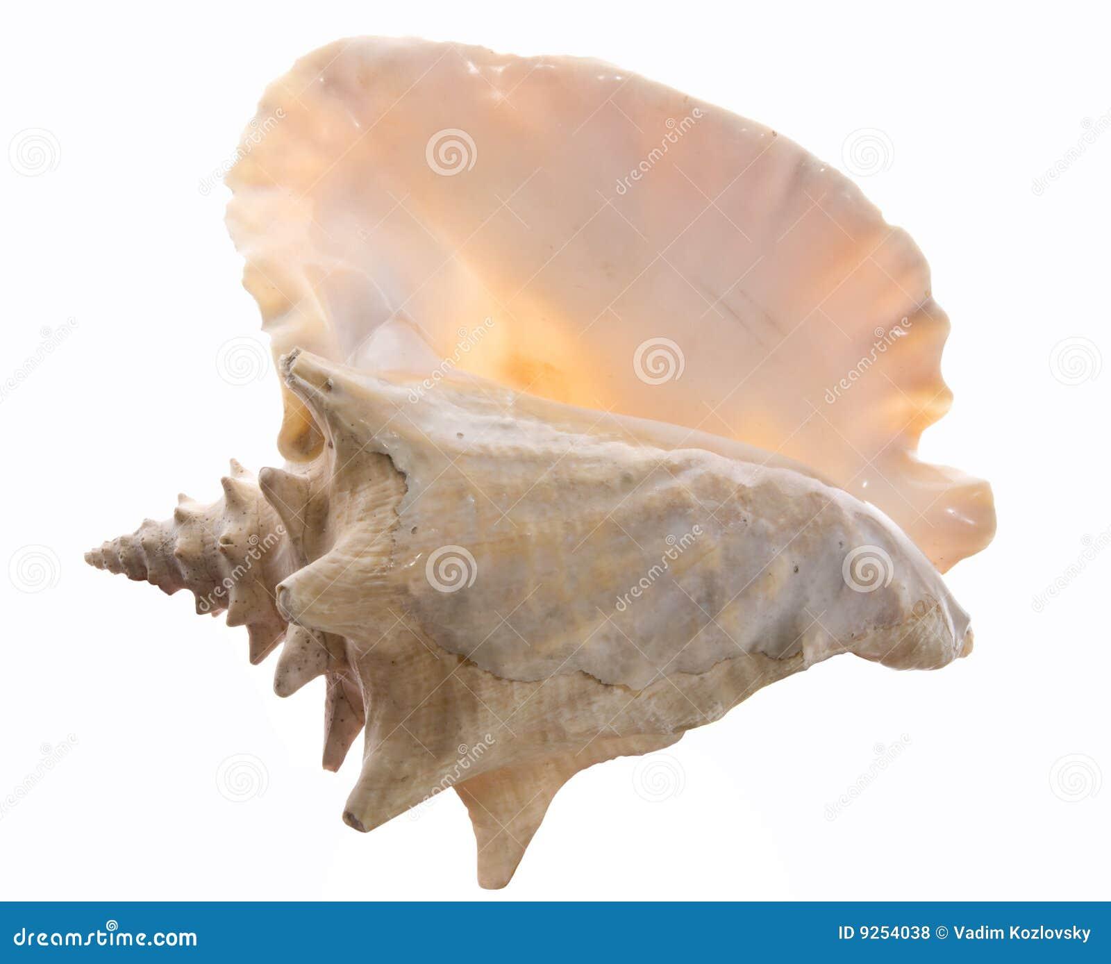 Big Sea Shell Royalty Free Stock Photos Image 9254038