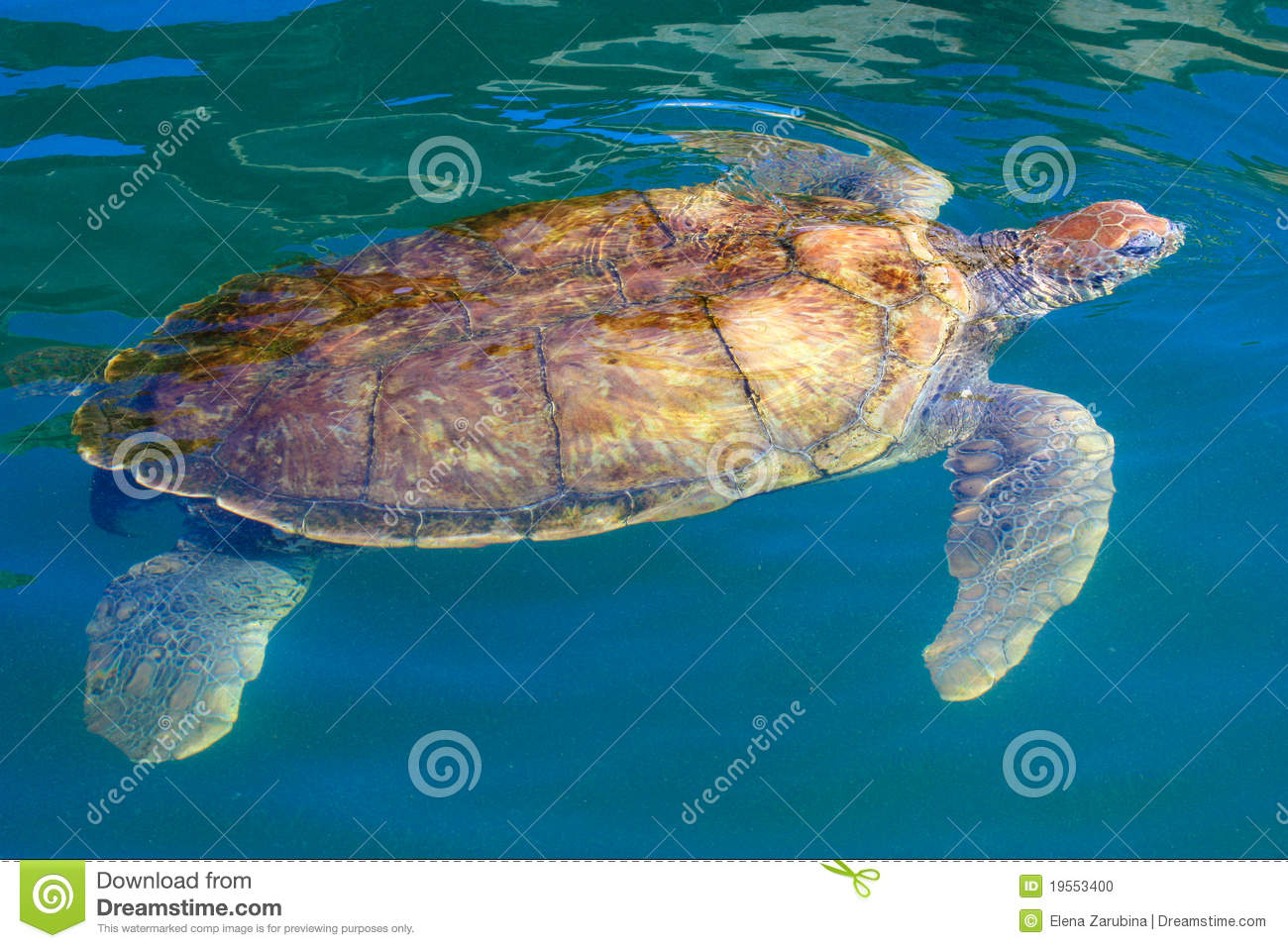 Big Sea Turtle Swimming In The Caribbean Waters Stock Photo - Image ...