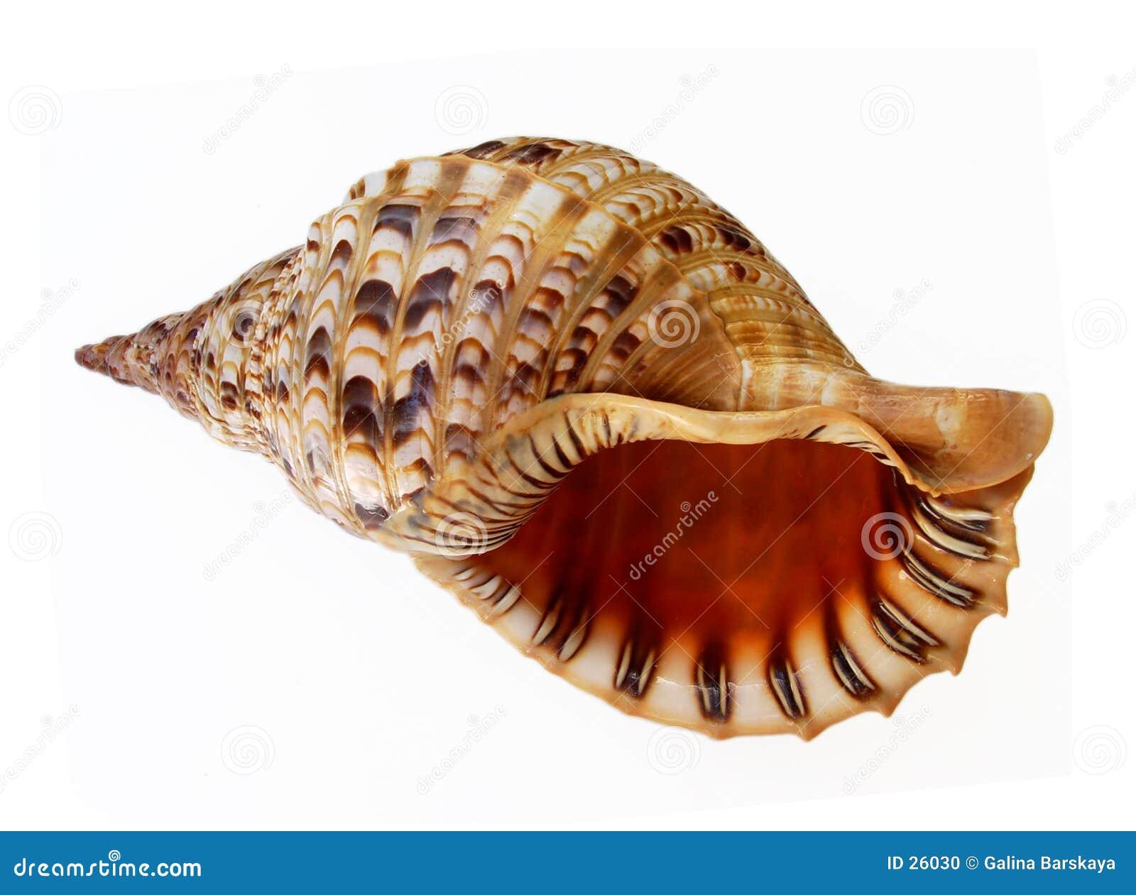 Big Seashell Talking Stock Photo - Image: 26030