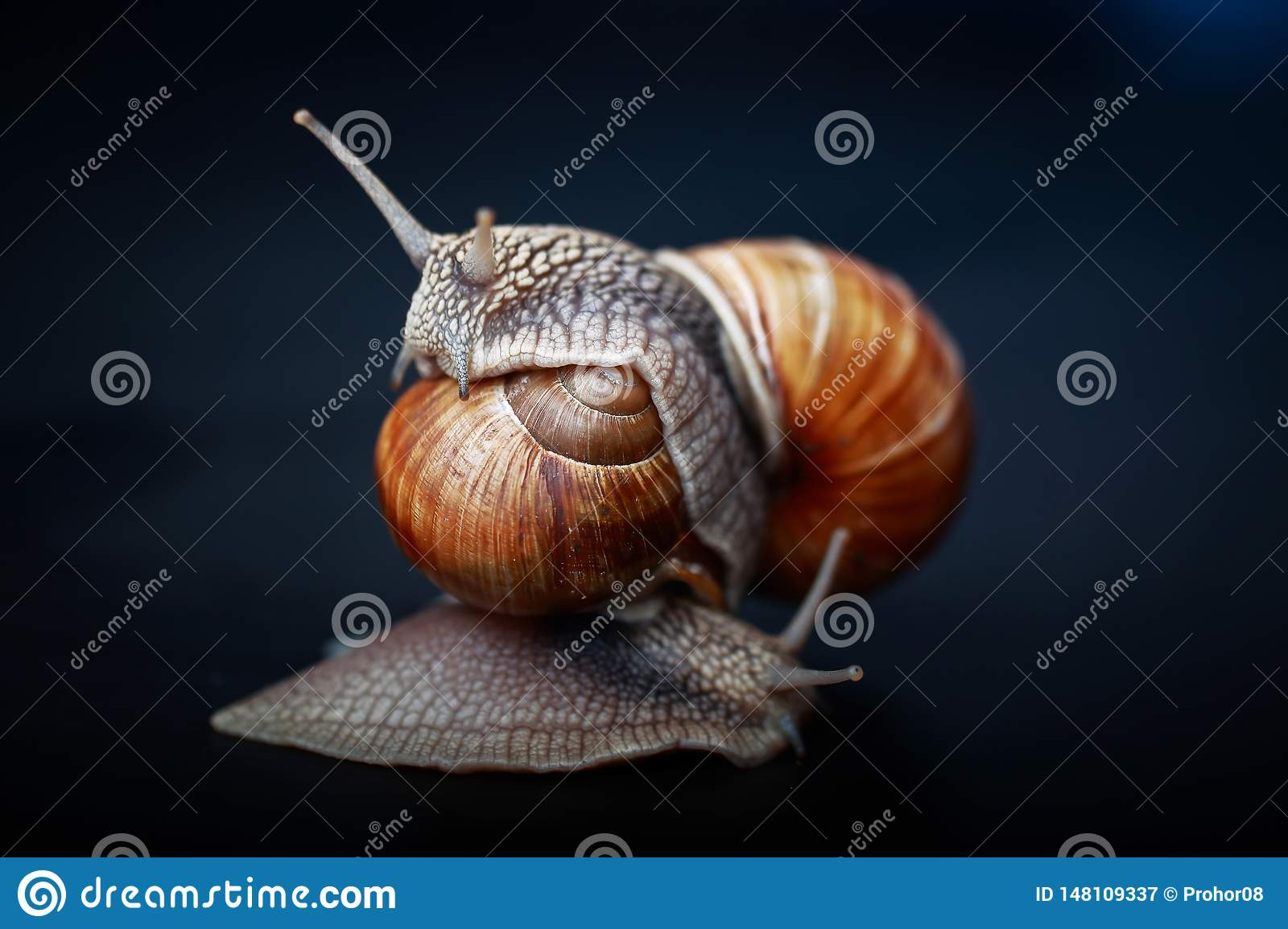 Snails crawling one on one in the studio
