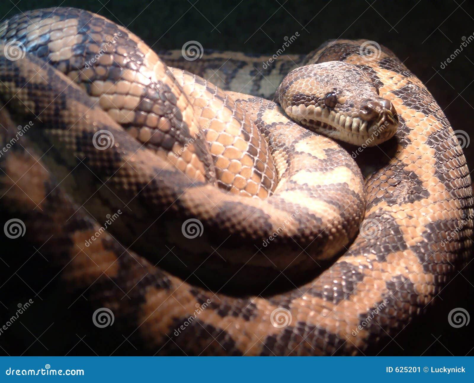 King Cobra vs Olive Water Snake - National Geographic