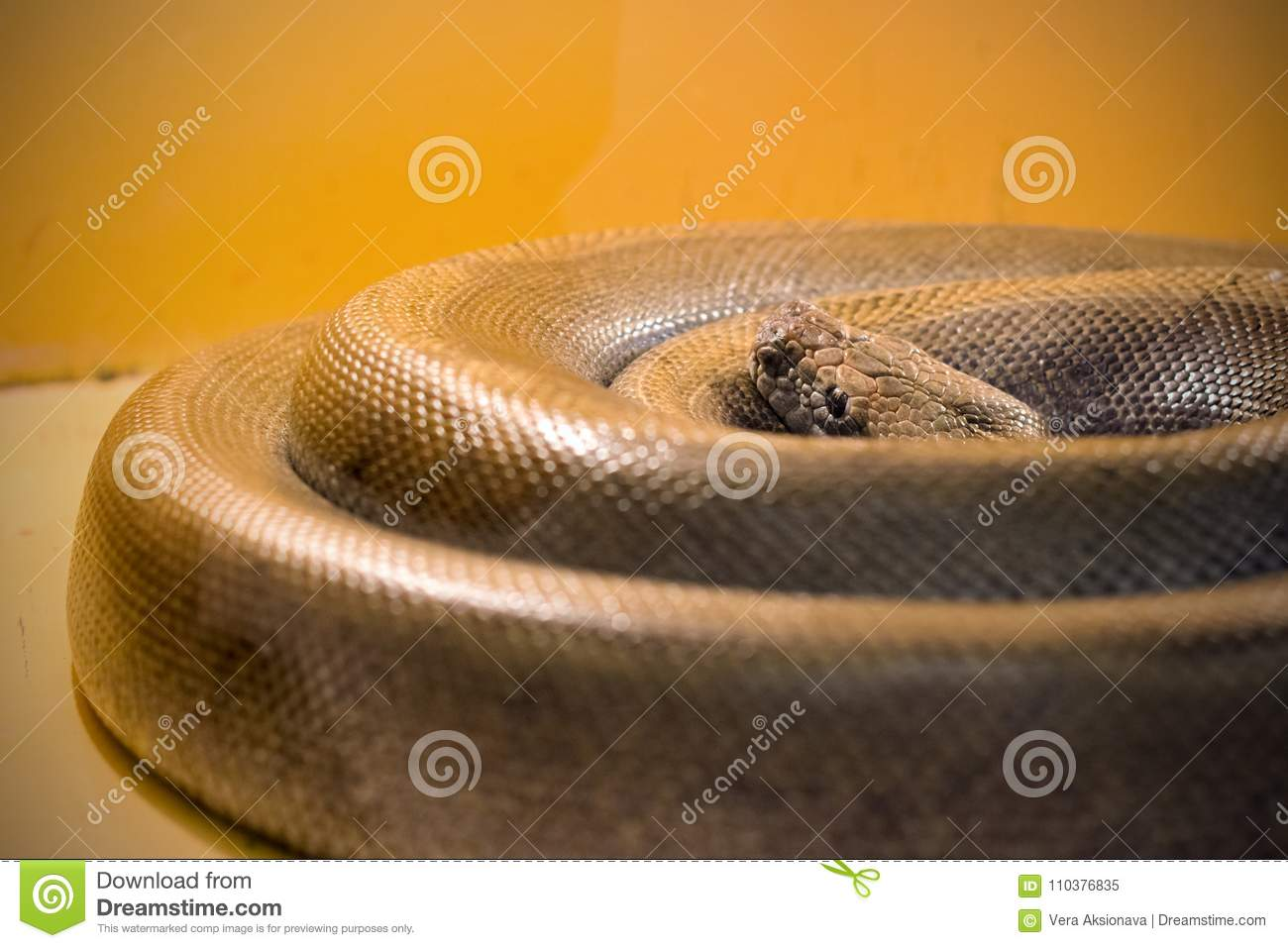 The big snake curled into a ring