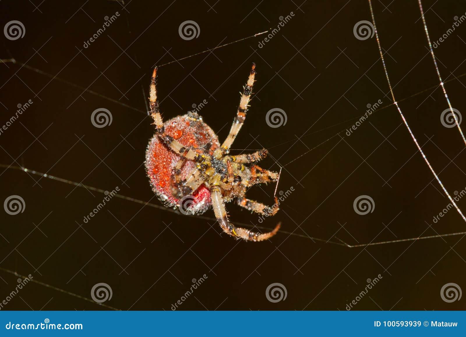 Big spider weaving web stock image. Image of creepy - 100593939