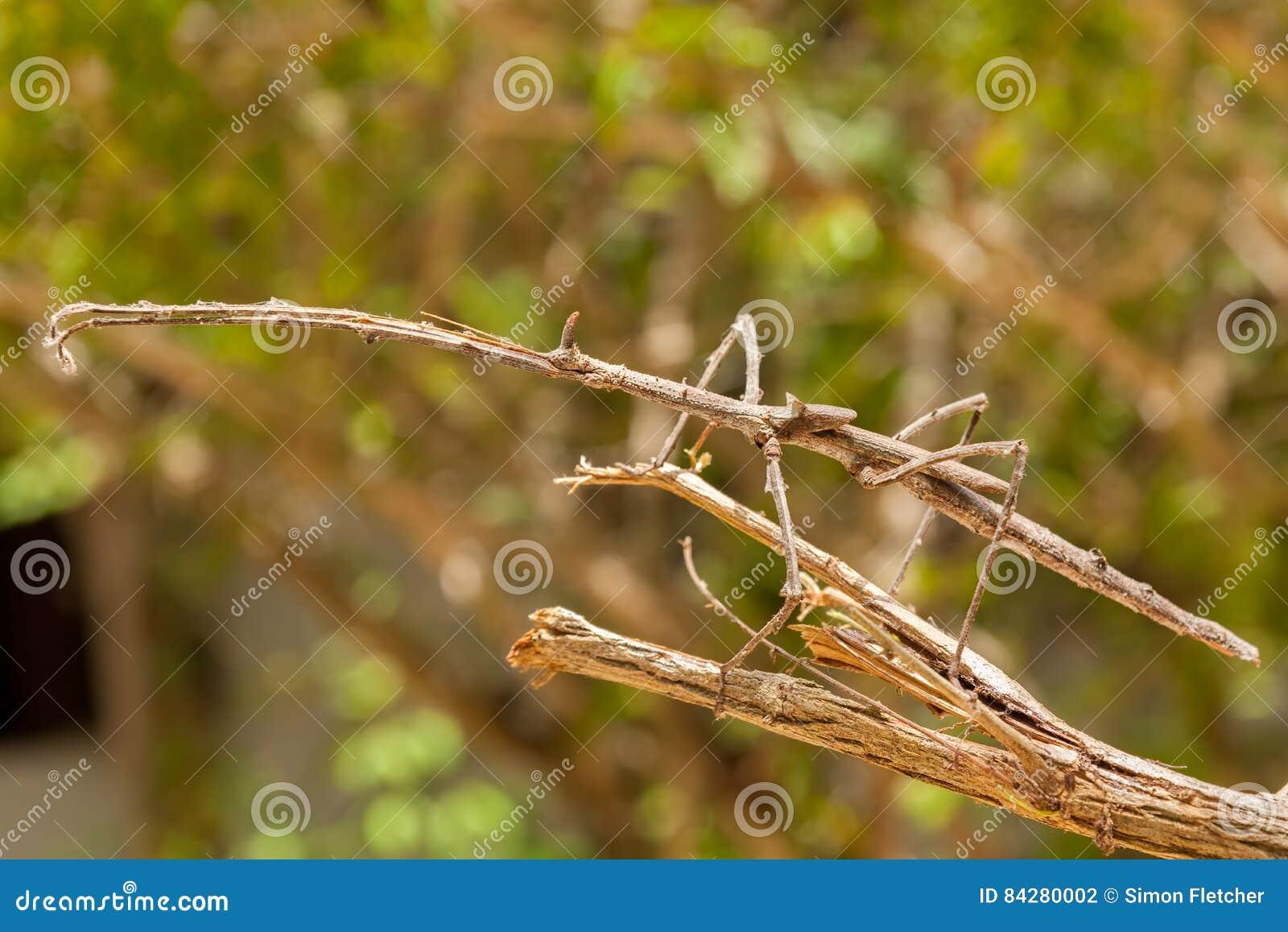 Big Stick Insect in Zanzibar