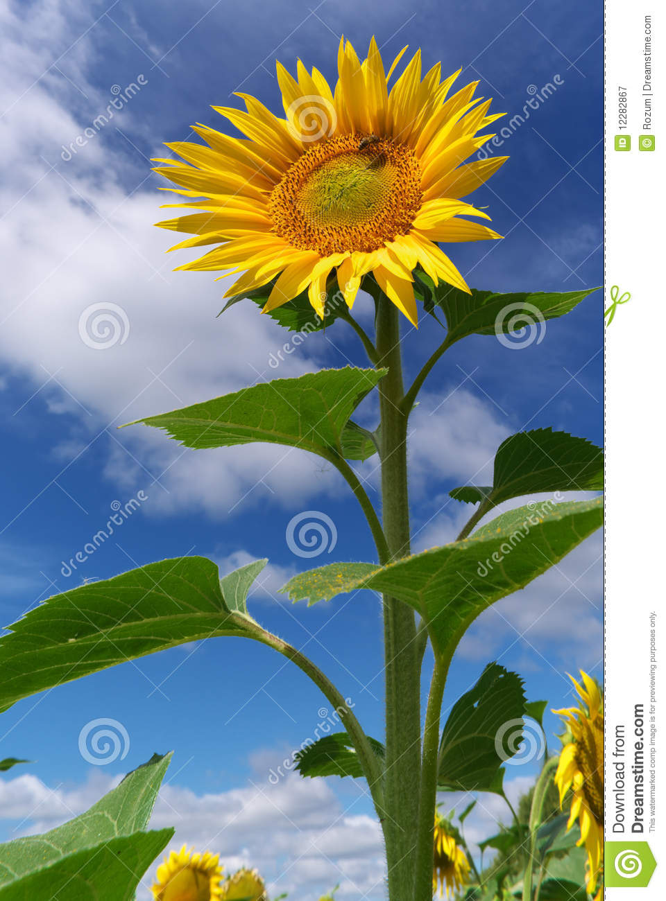 Big Sunflower Royalty Free Stock Photography Image 12282867