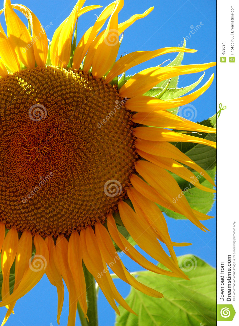 Download Big Sunflower stock photo. Image of summer, bright, green - 458094