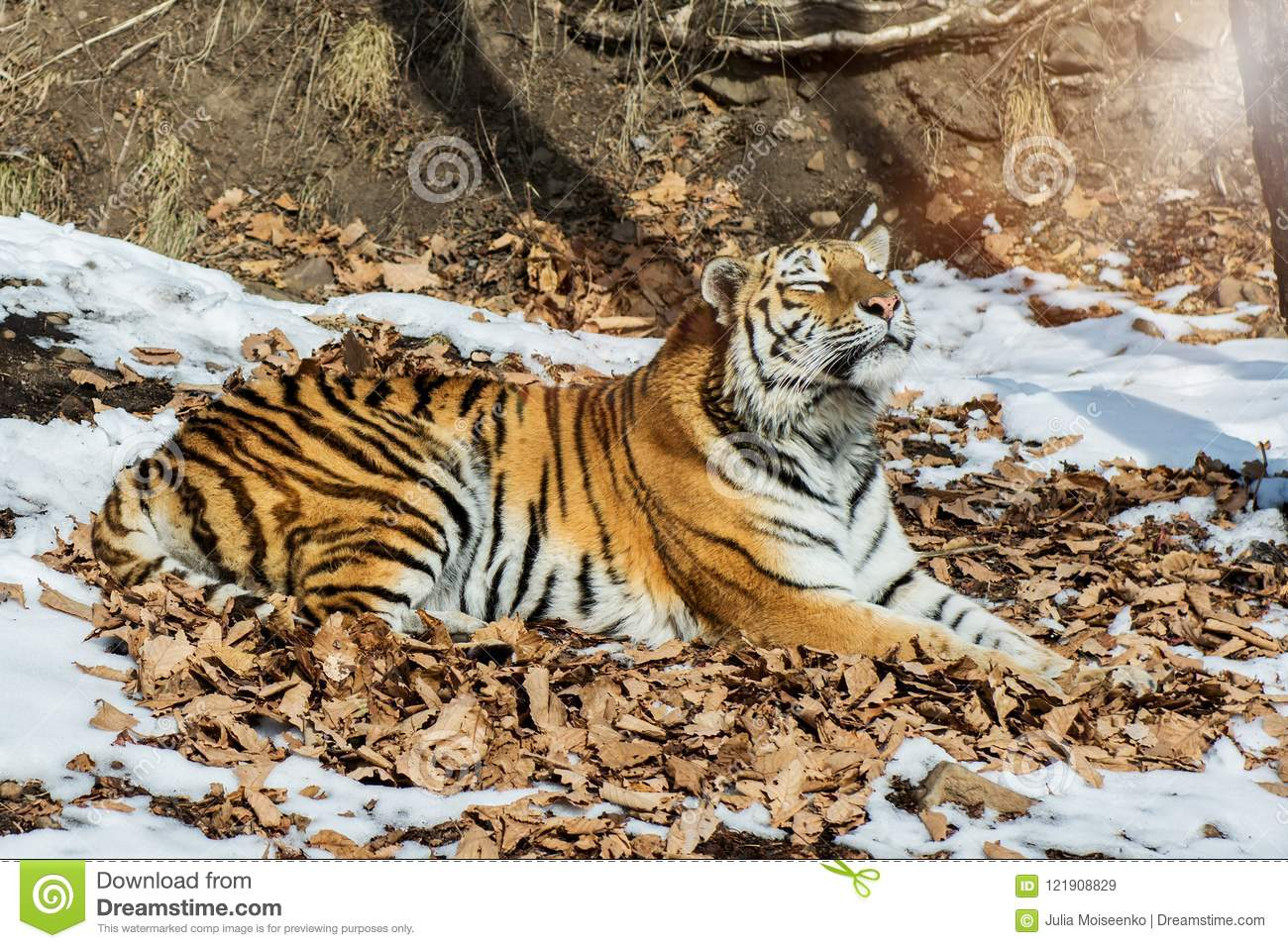 Big tiger in the snow, the beautiful, wild, striped cat, in open Woods, looking directly at us.