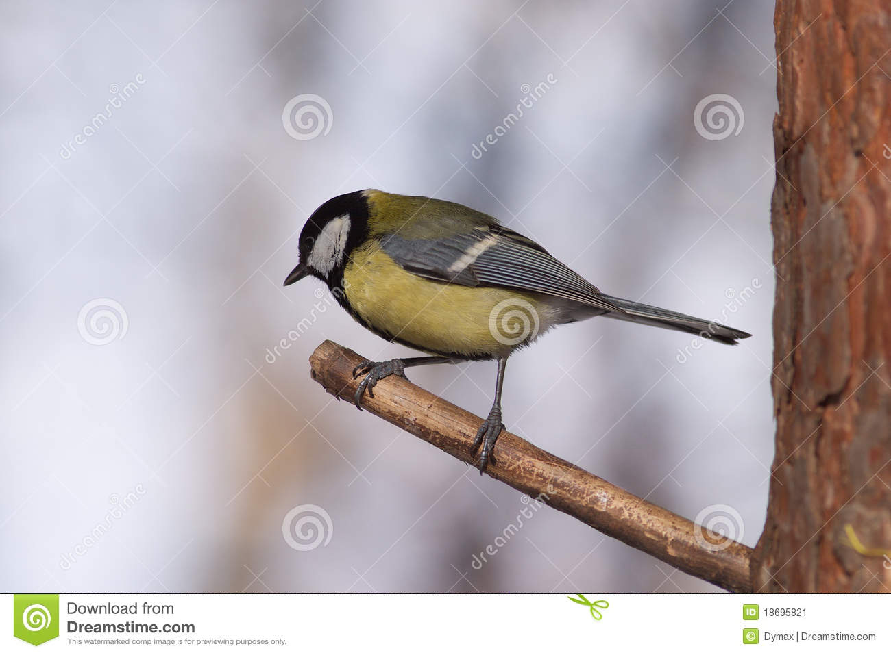 Birds with big tits