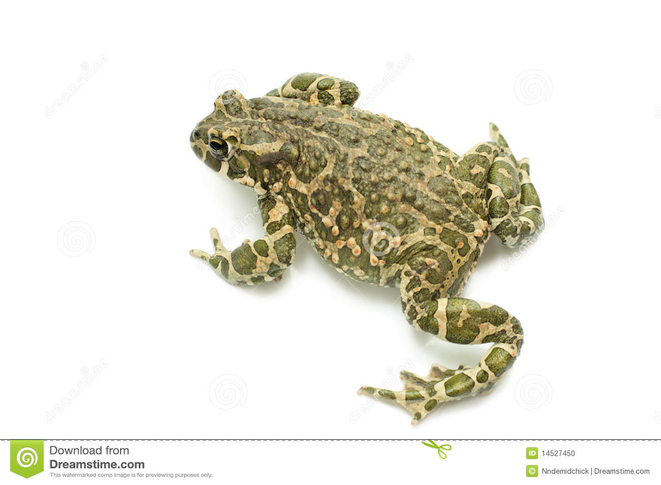 Download Big toad stock photo. Image of white, wildlife, little - 14527450