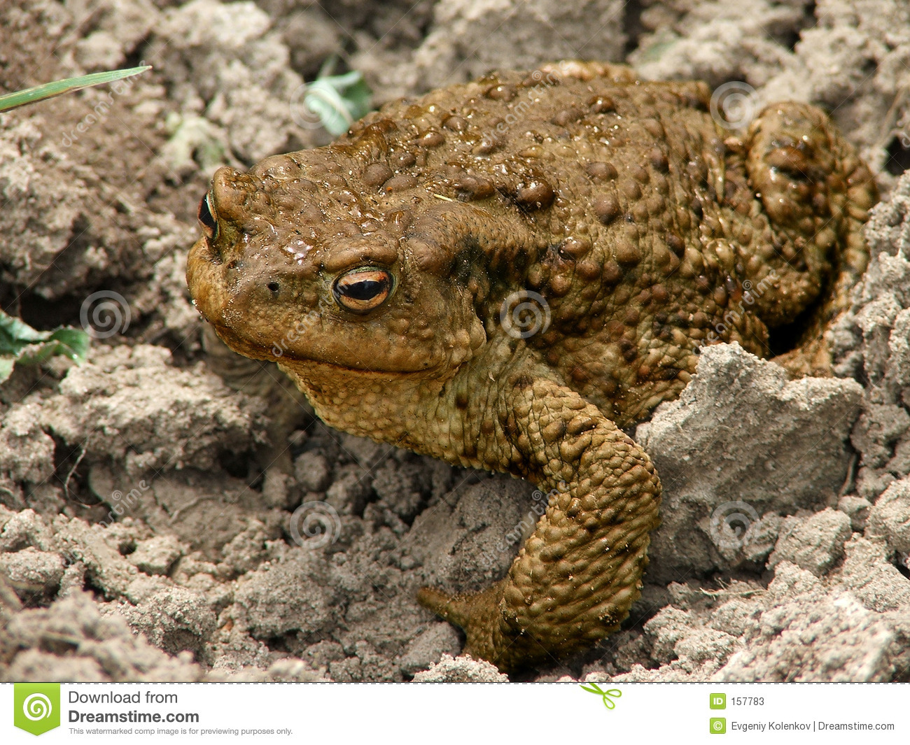The big toad